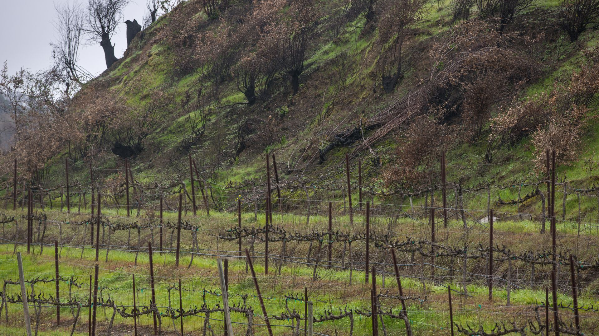 Grapevines along Old Redwood Highway burned in the October 9 Tubbs Fire