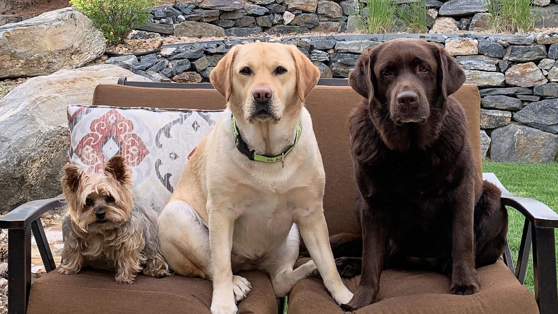 A photo of three dogs -- two labs and a yorkie -- sitting on a couch outside
