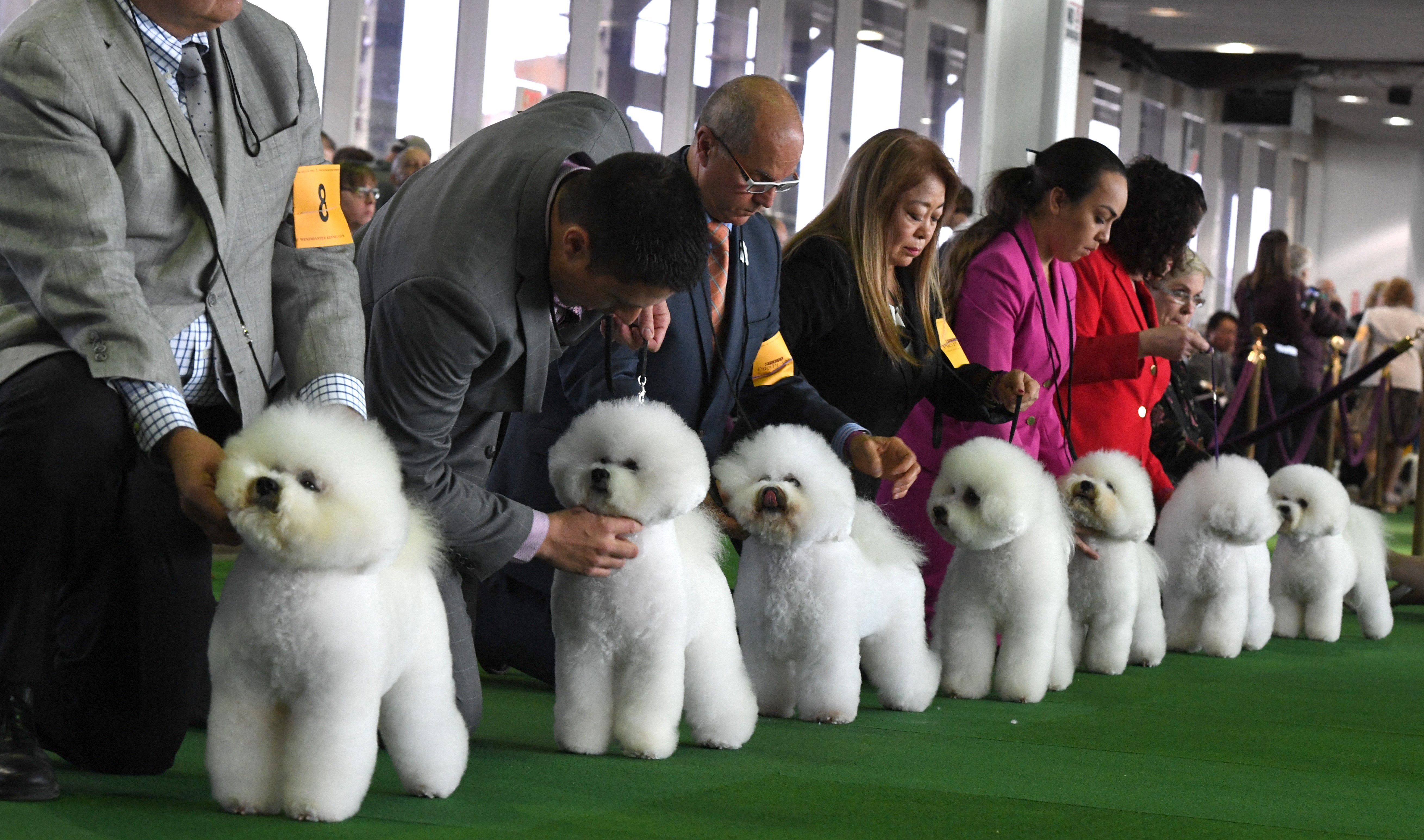 Bichon frises gather in the judges ring