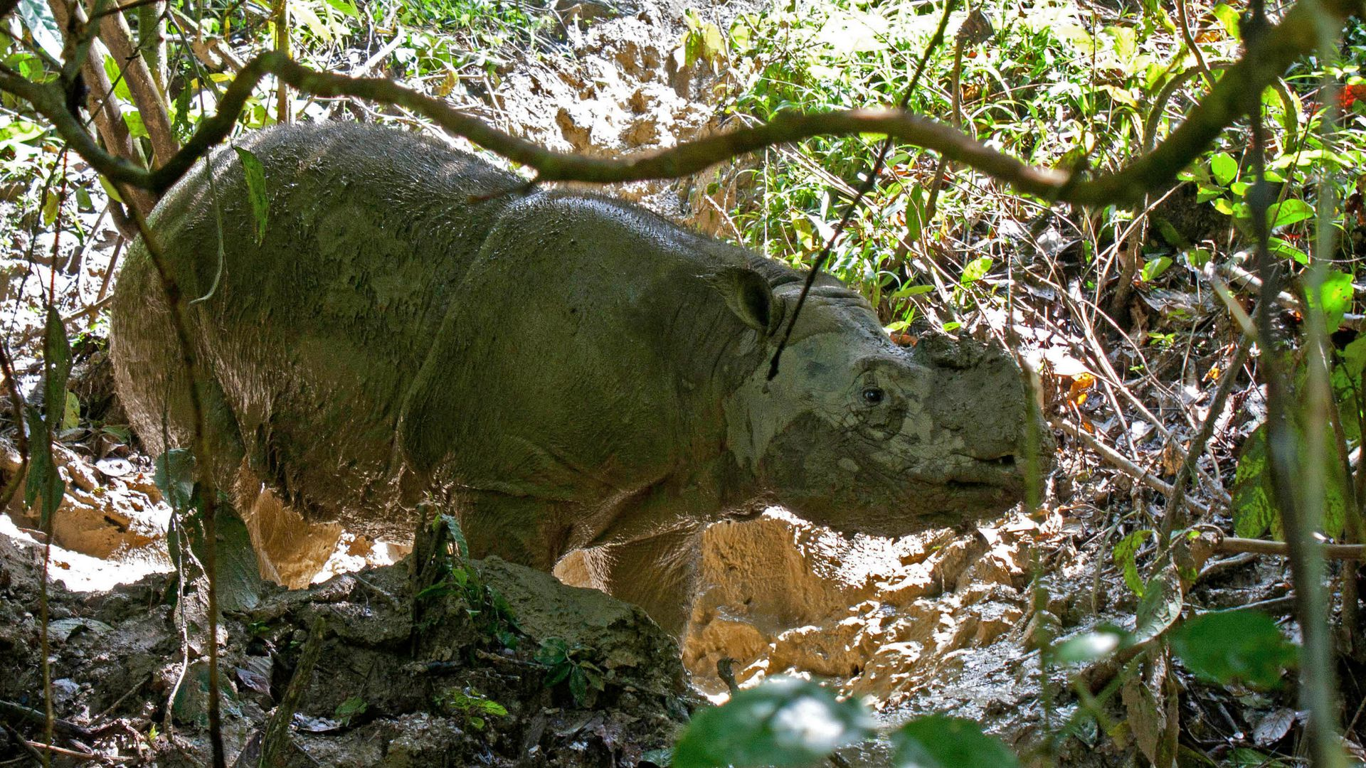 A Sumatran rhinoceros stands in the rhinocerous protection station Tabin in the jungle of Borneo near Lahad Datu, Malaysia, 29 October 2013.