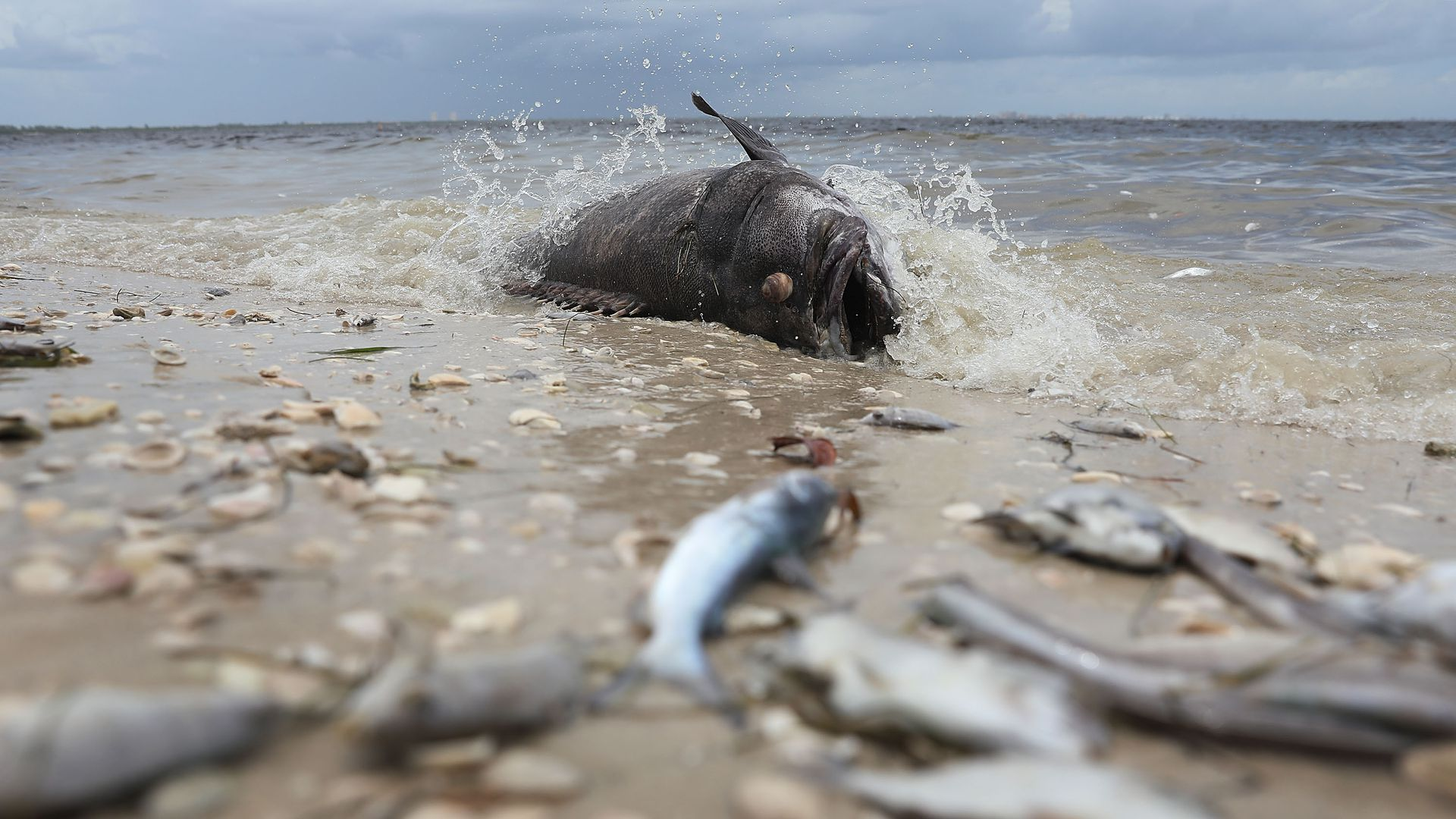A Goliath grouper and other fish are seen washed ashore the Sanibel causeway after dying in a red tide on August 1, 2018 in Sanibel, Florida.