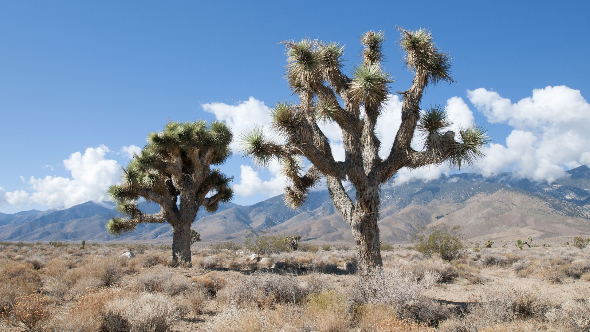 Joshua trees chopped down in unsupervised federal lands during government shutdown