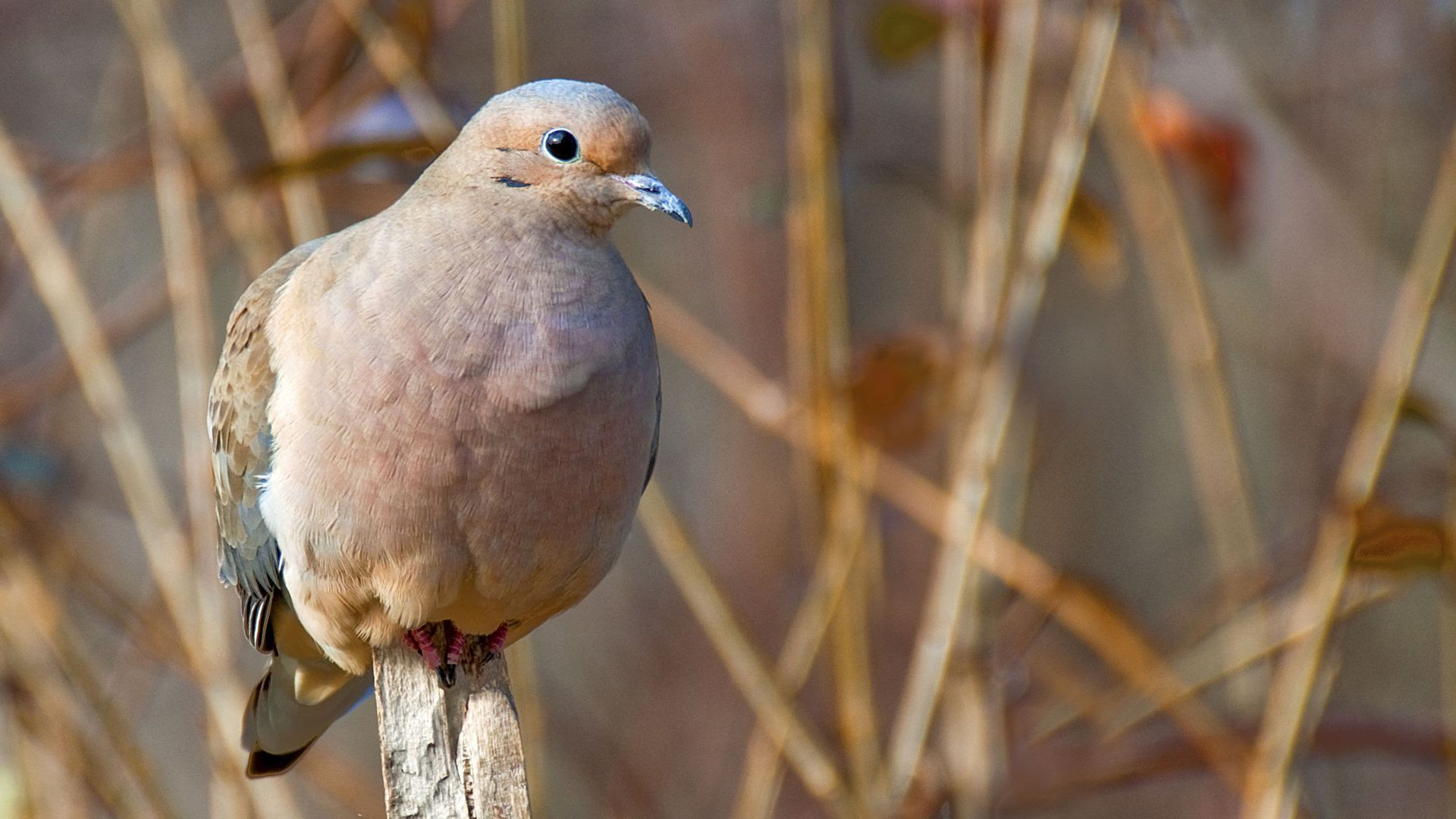 A mourning dove perches on a branch.