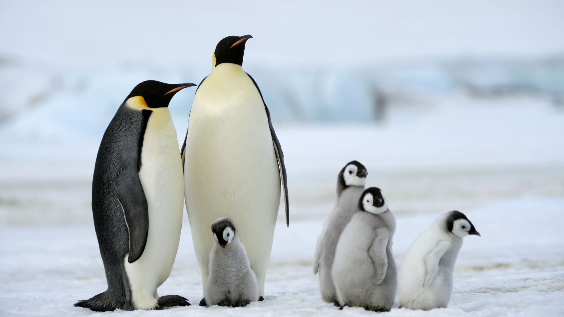 "Scientists have announced a ""catastrophic"" breeding failure at one of world's largest emperor penguin colonies."