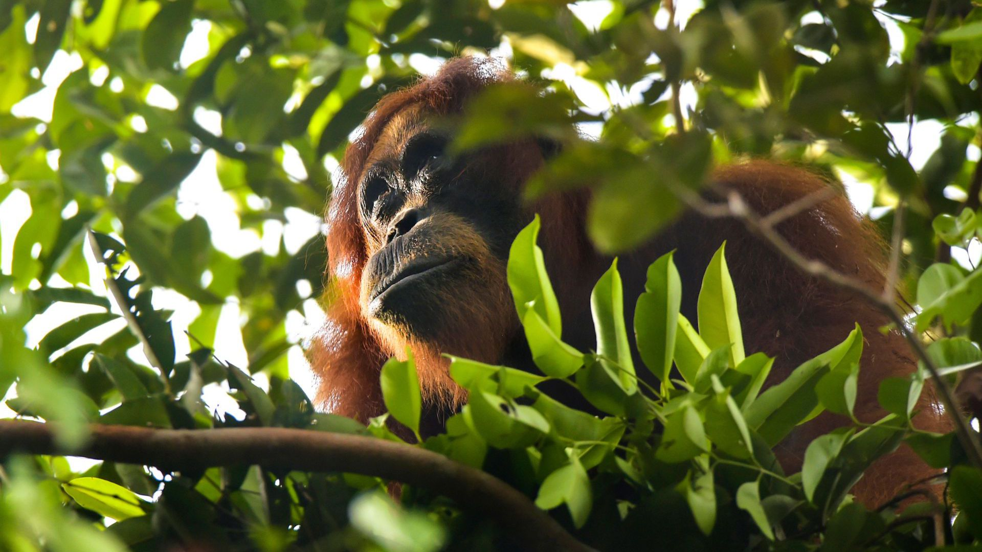 A wild Sumatran orangutan feeding on fruits in Aceh, Indonesia.