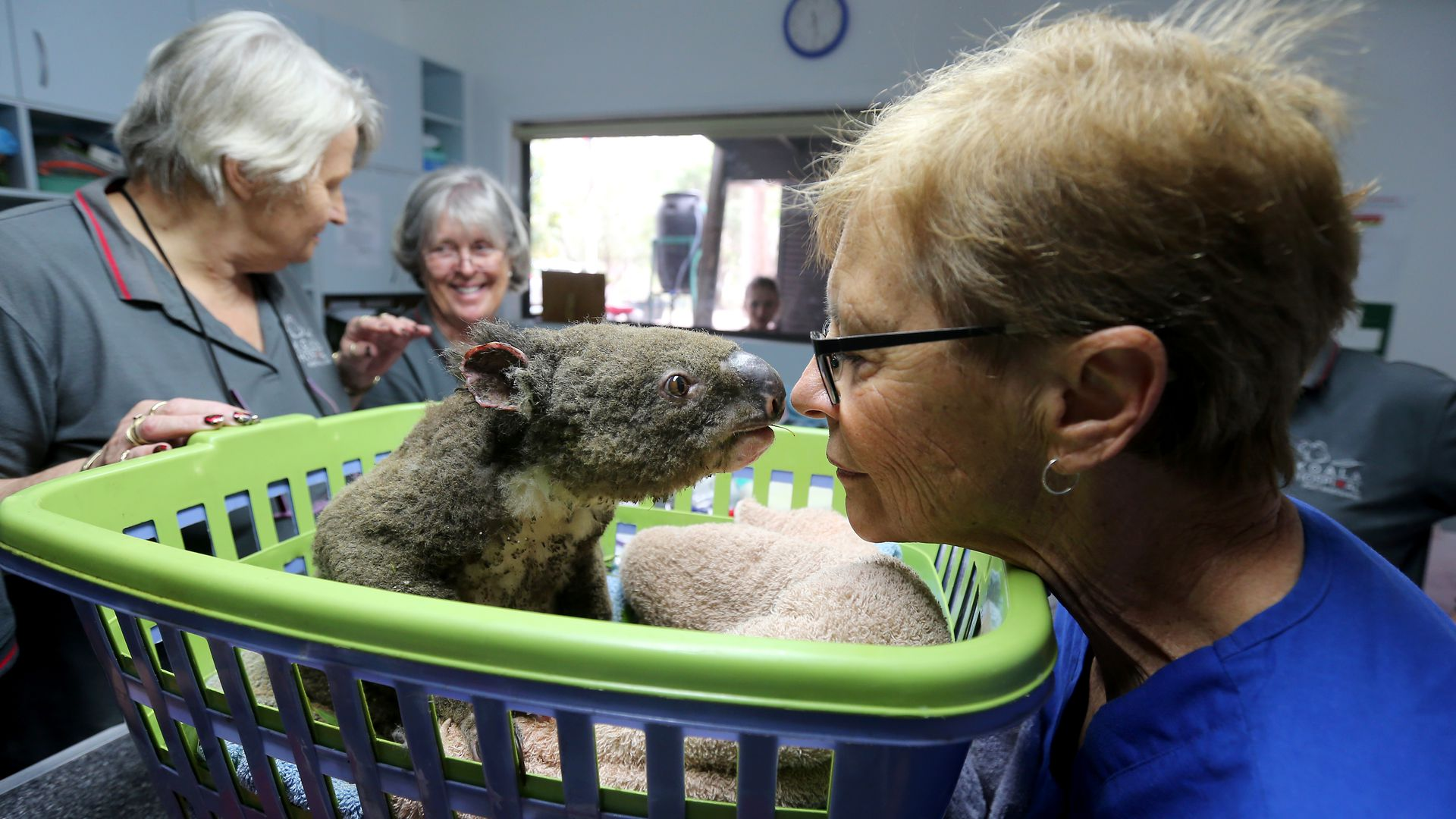 Koala recovering from burns at an animal hospital