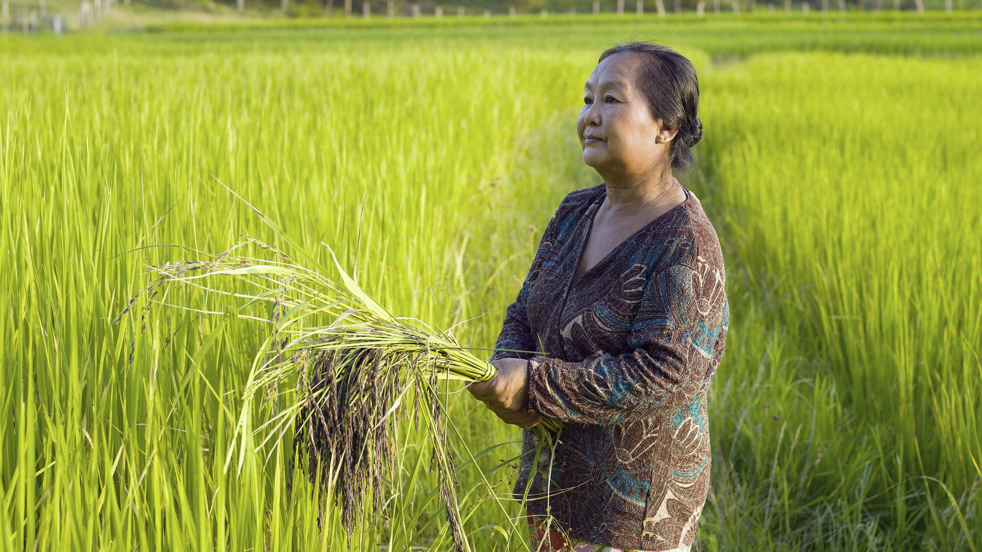 Portrait of farmer Bounthit Inthavong  in her rice field in Tao Than village, Vientiane Lao PDR.