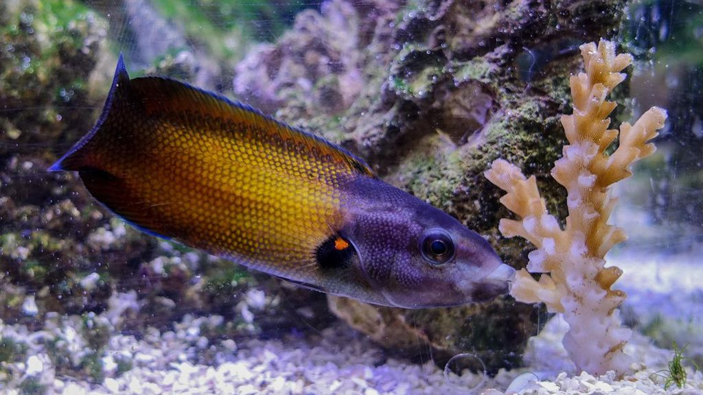 59a33d139e Reef fish uses specialized, slimy lips to eat venomous coral - Axios