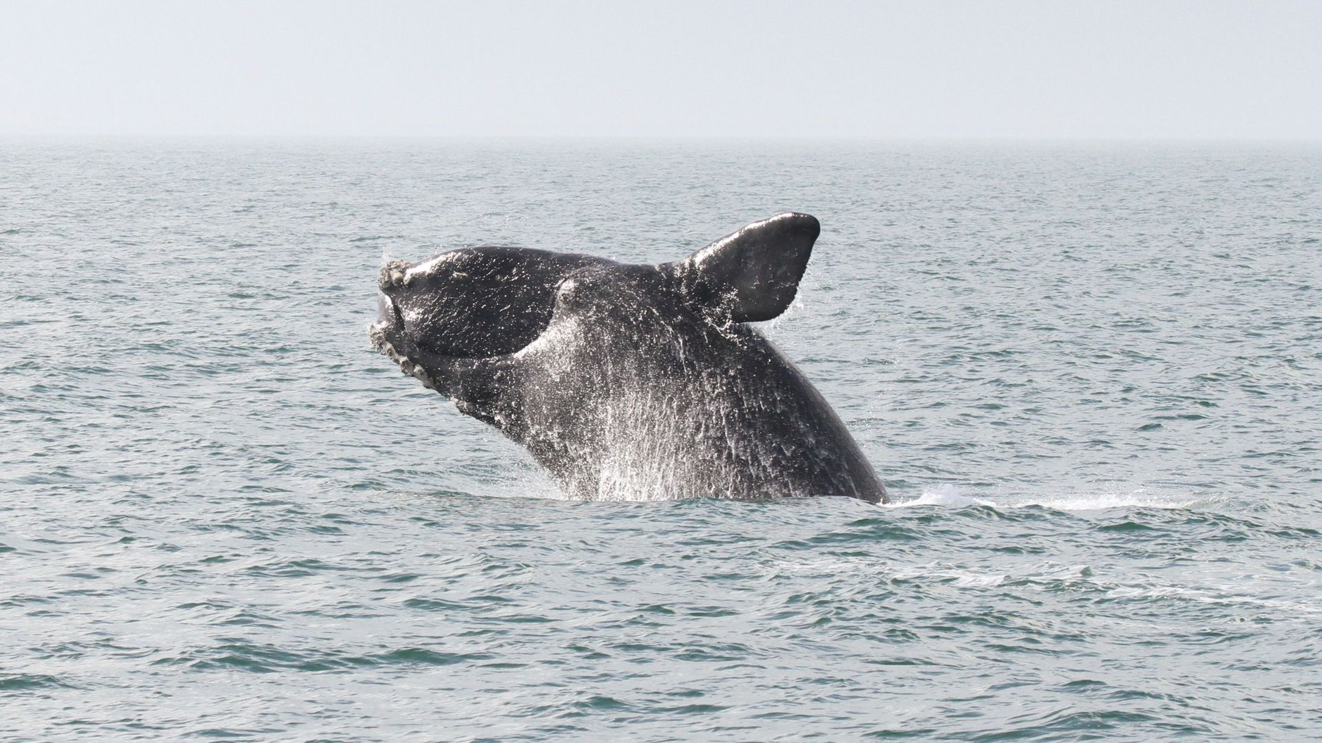An endangered right whale breaches on a sunny day off the coast of Georgia