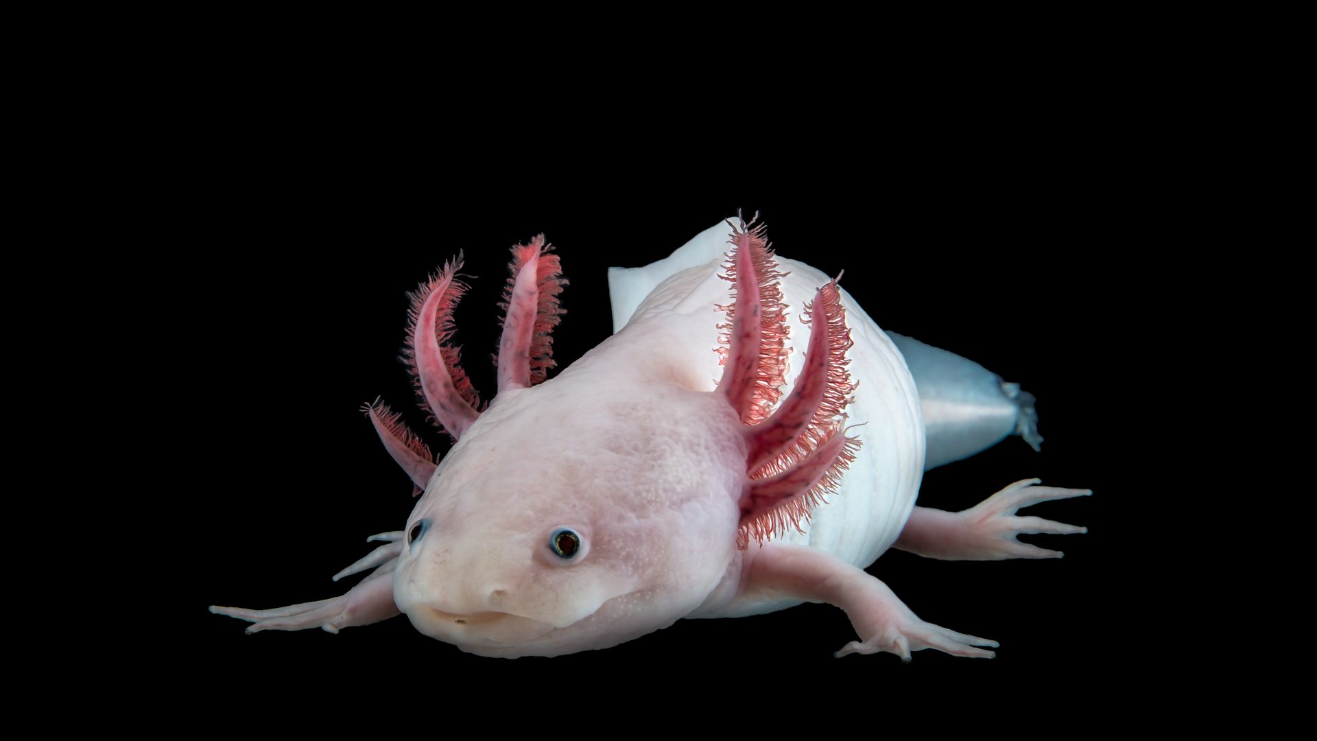 The Mexican axolotl Ambystoma mexicanum is a model organism for regeneration research.