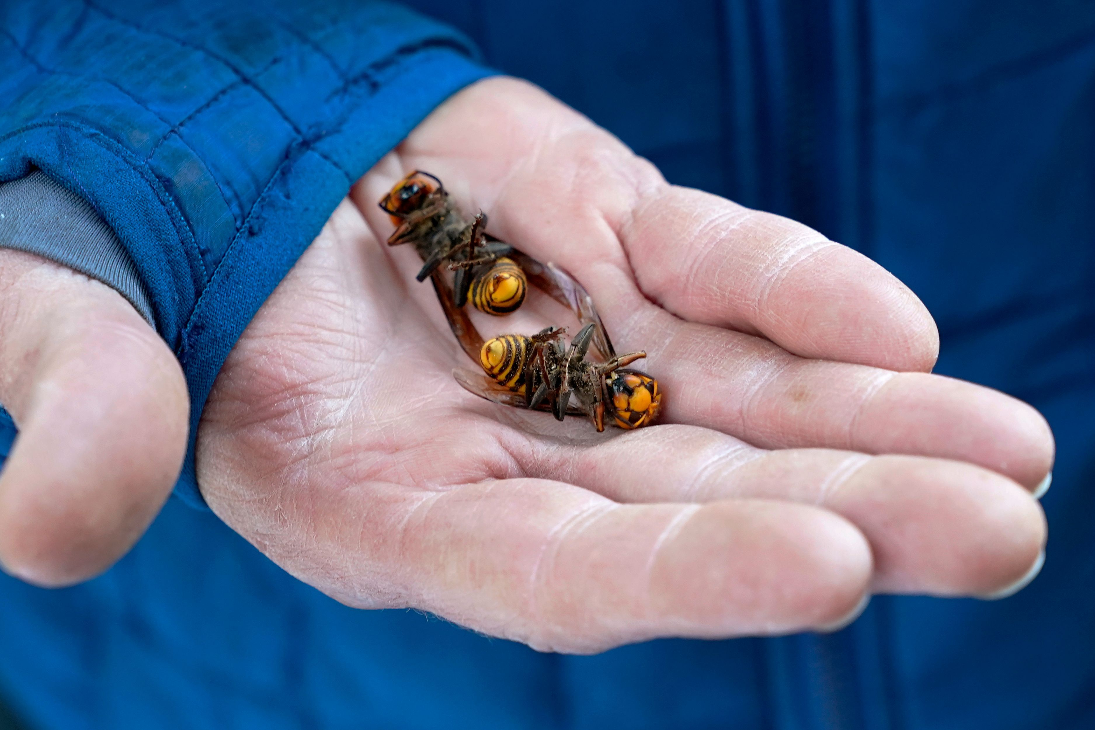 A Washington State Department of Agriculture workers holds two of the dozens of Asian giant hornets vacuumed from a tree on October 24, 2020, in Blaine, Washington.