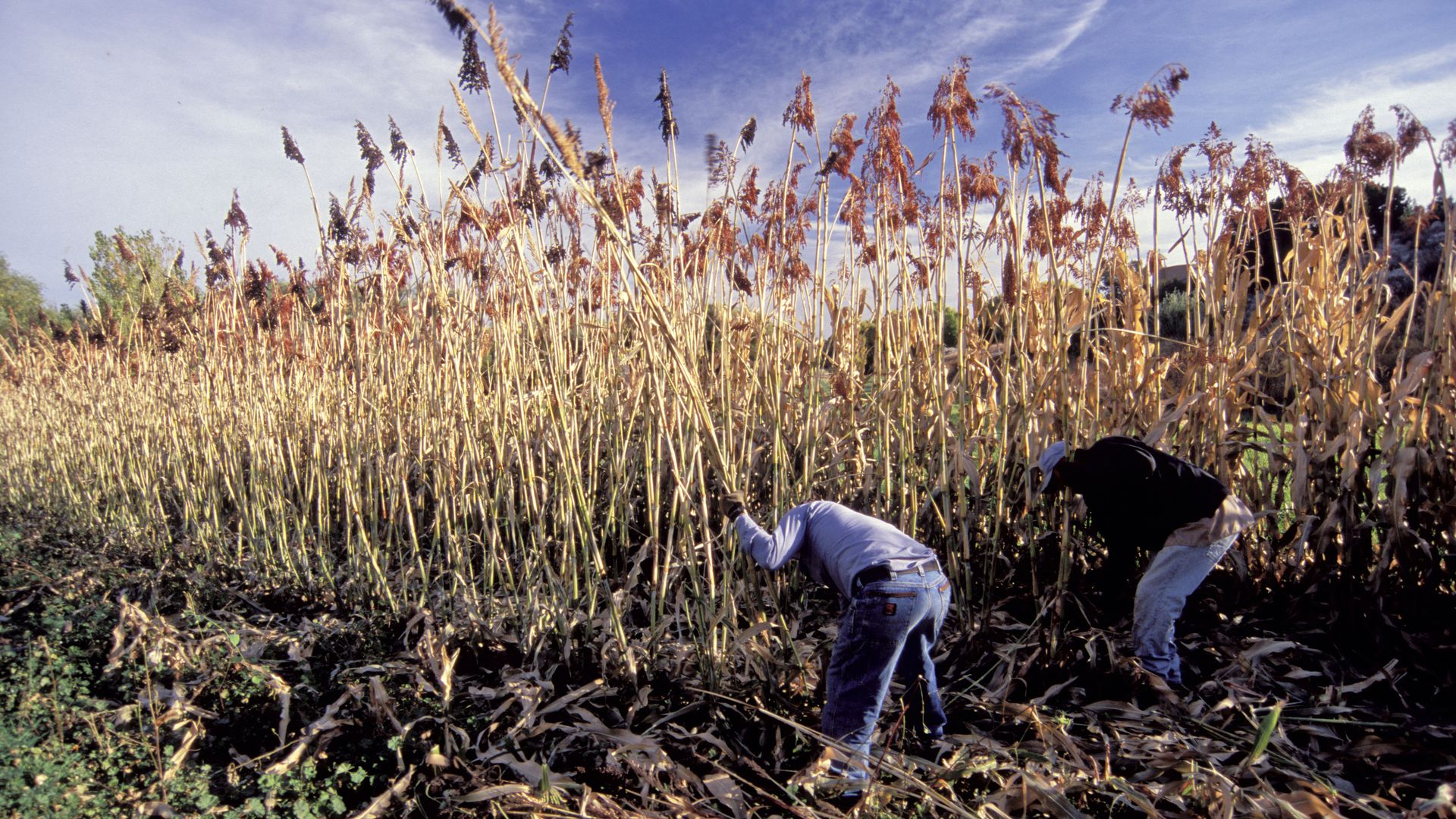 Two farmers with backs to the camera harvest sorghum