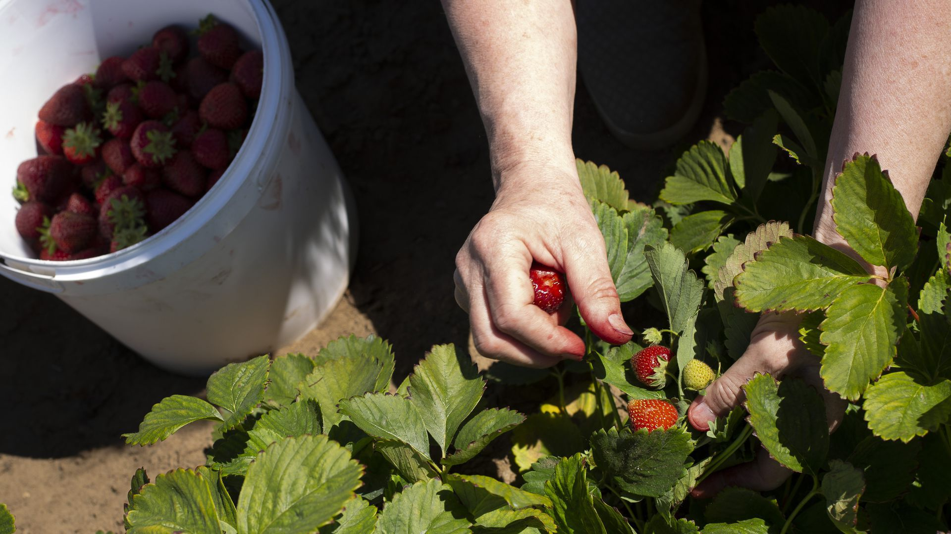 A person's hands picking strawberries.