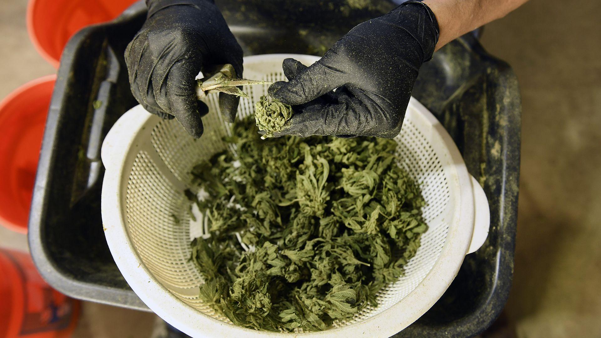 Someone pruning marijuana buds.