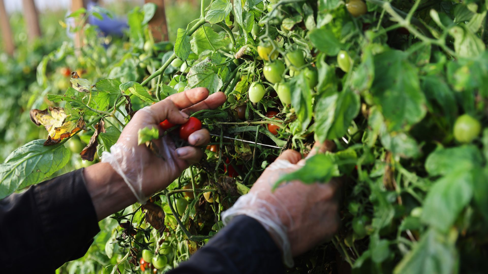 A worker's hands picking tomatoes at a farm.