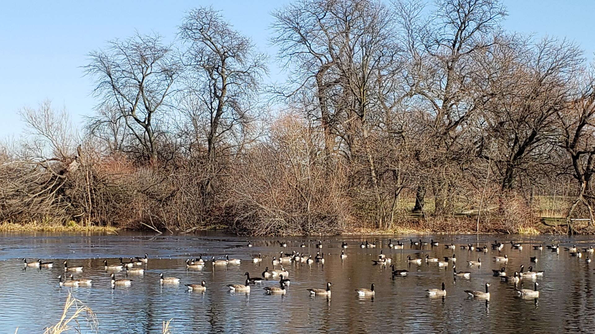 Geese on the water.