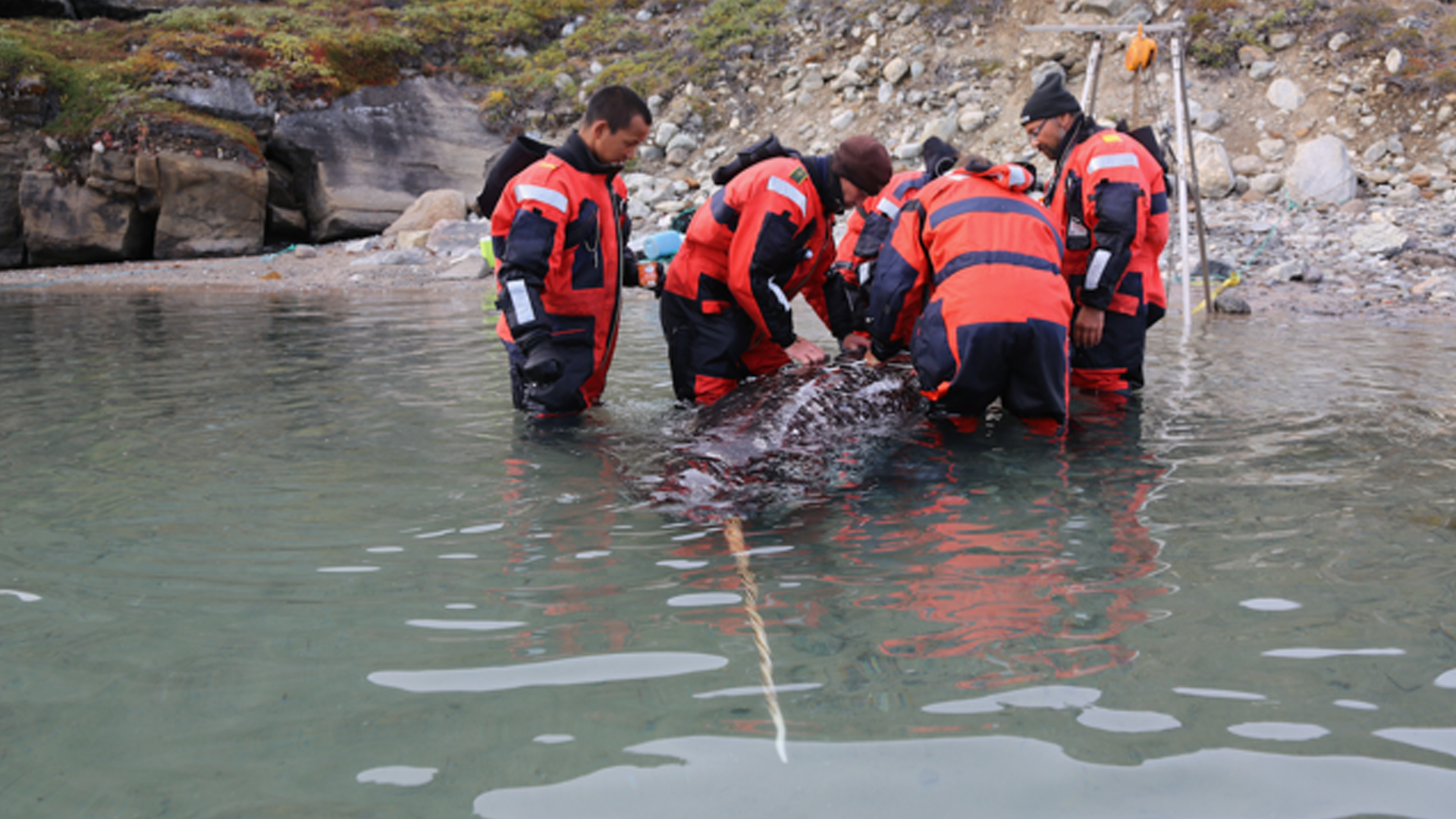Scientists tagging a narwhal
