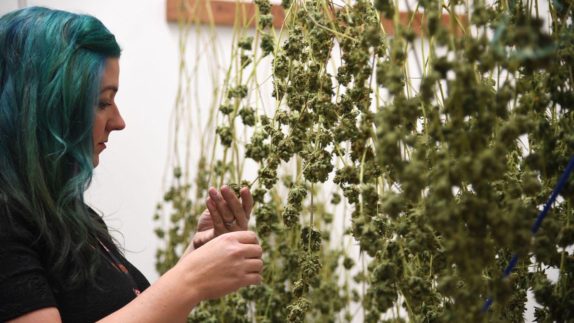 Green Pearl Organics dispensary owner Nicole Salisbury inspects drying marijuana.