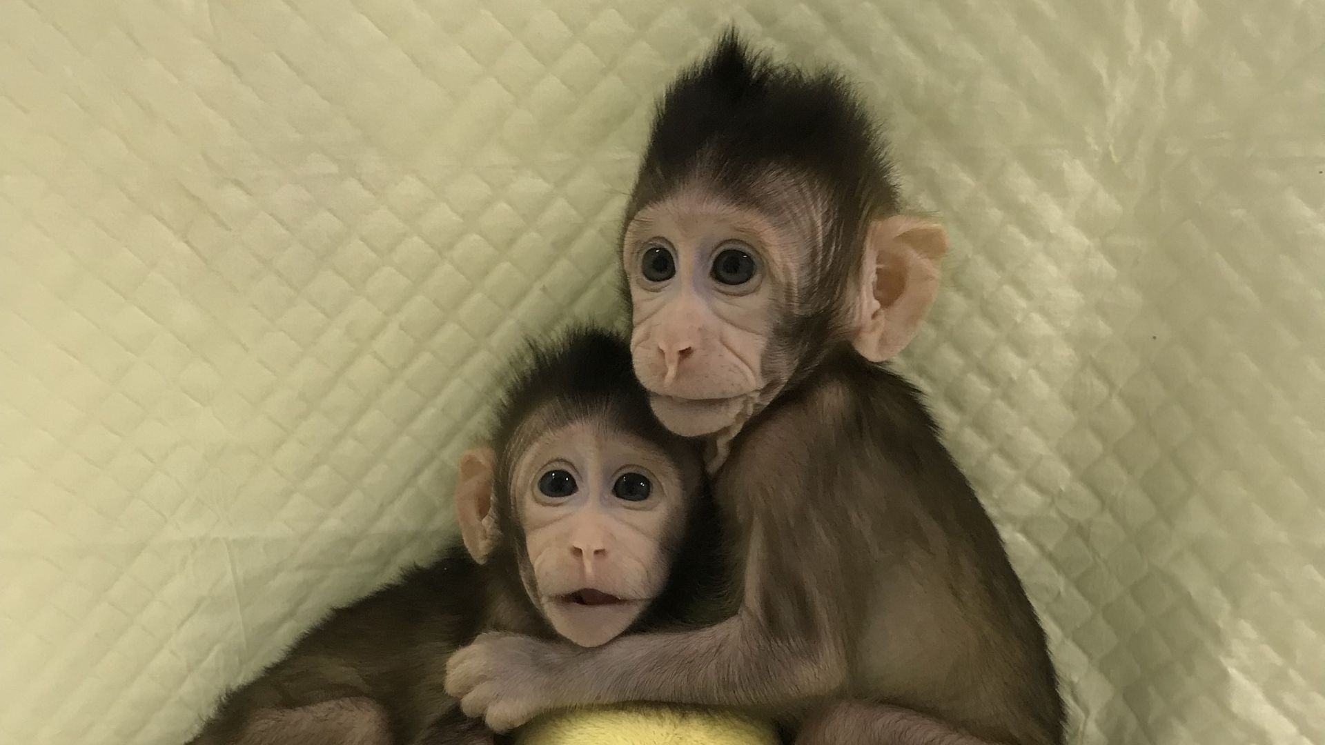 Zhongzhong and Huahua, two cloned macaques.
