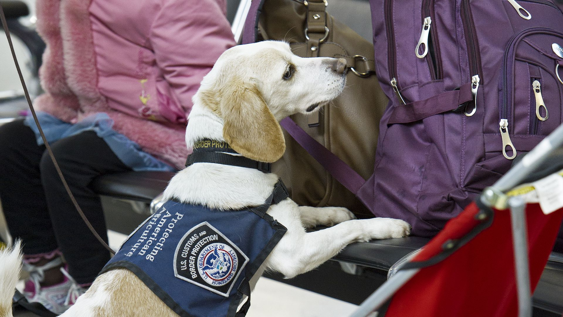 A airport security beagle sniffing luggage.
