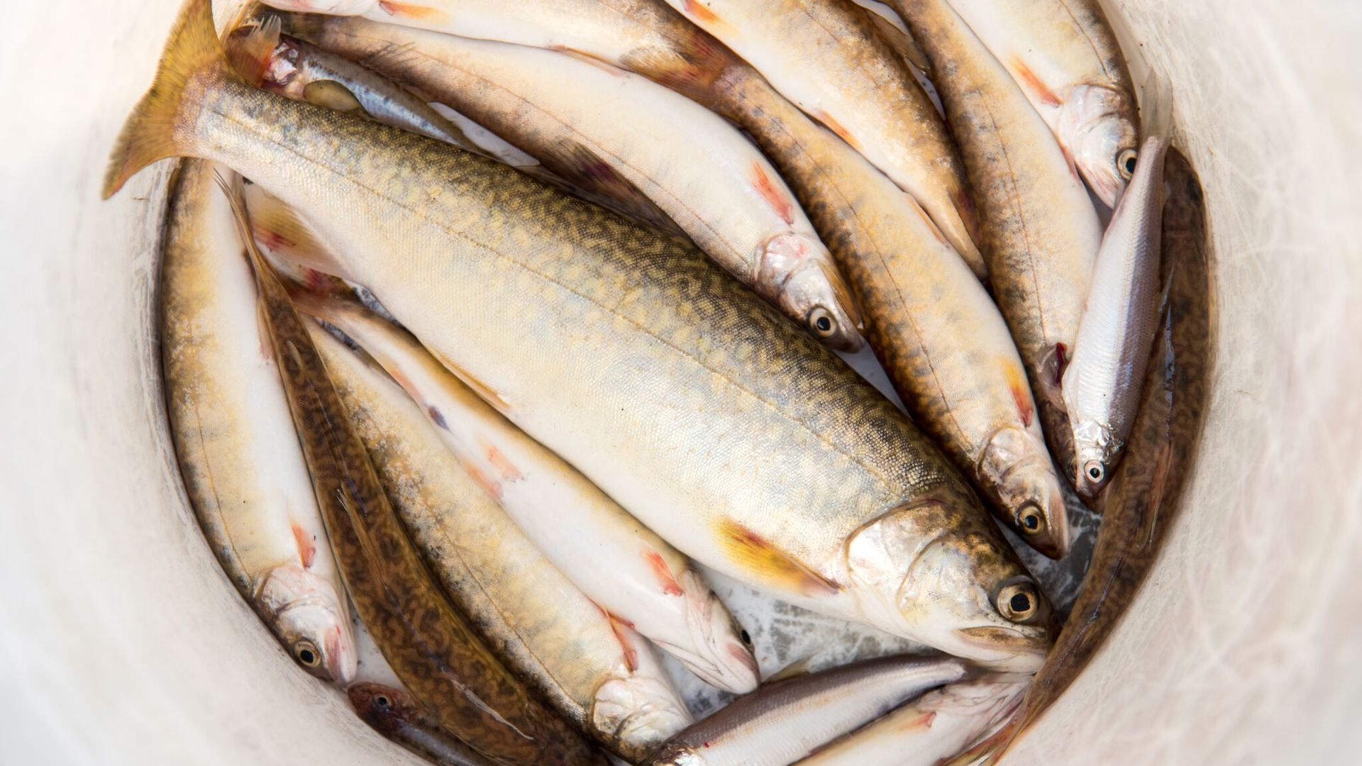 Trout in a bucket.