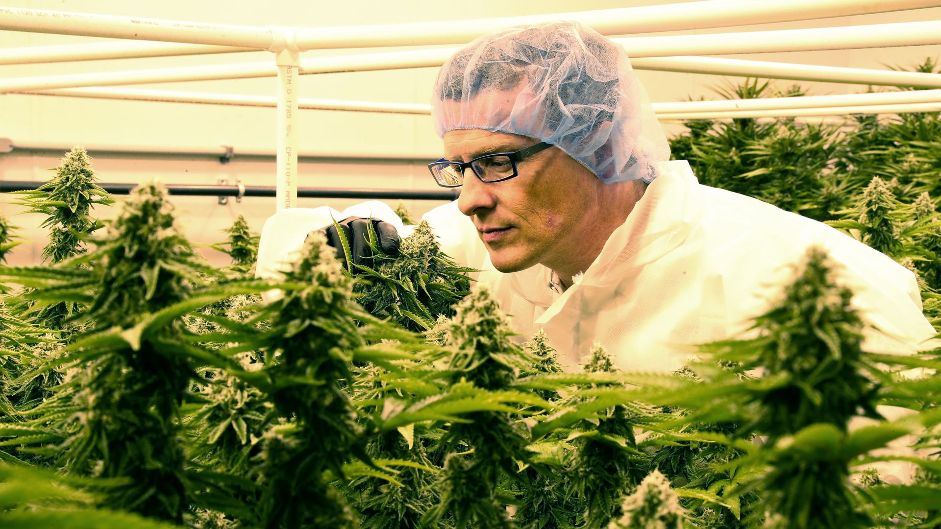 Mike Dundas, CEO of Sira Naturals, looks over plants at the company's facility in Milford, MA