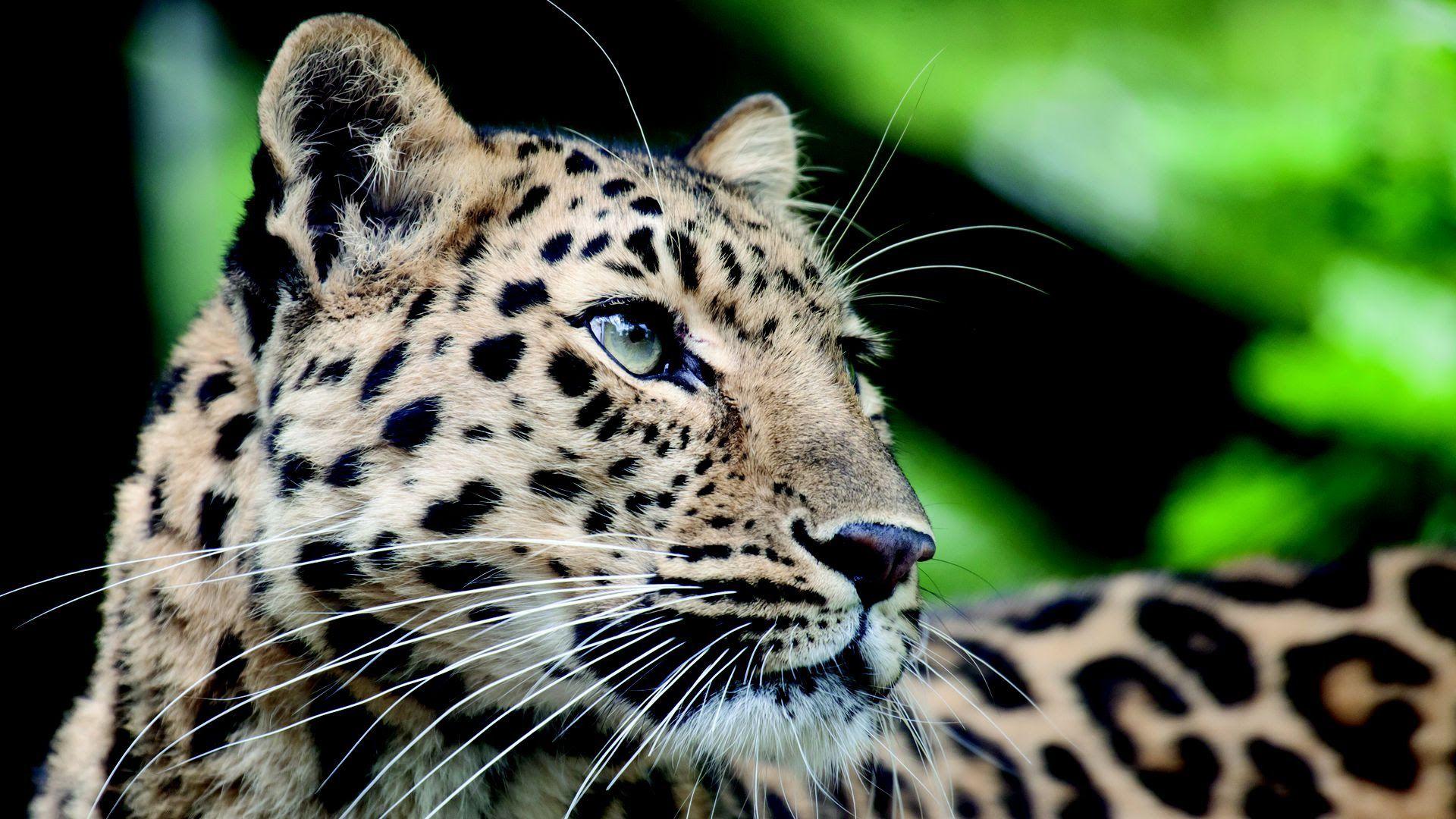 A Jaguar at the Nashville Zoo.