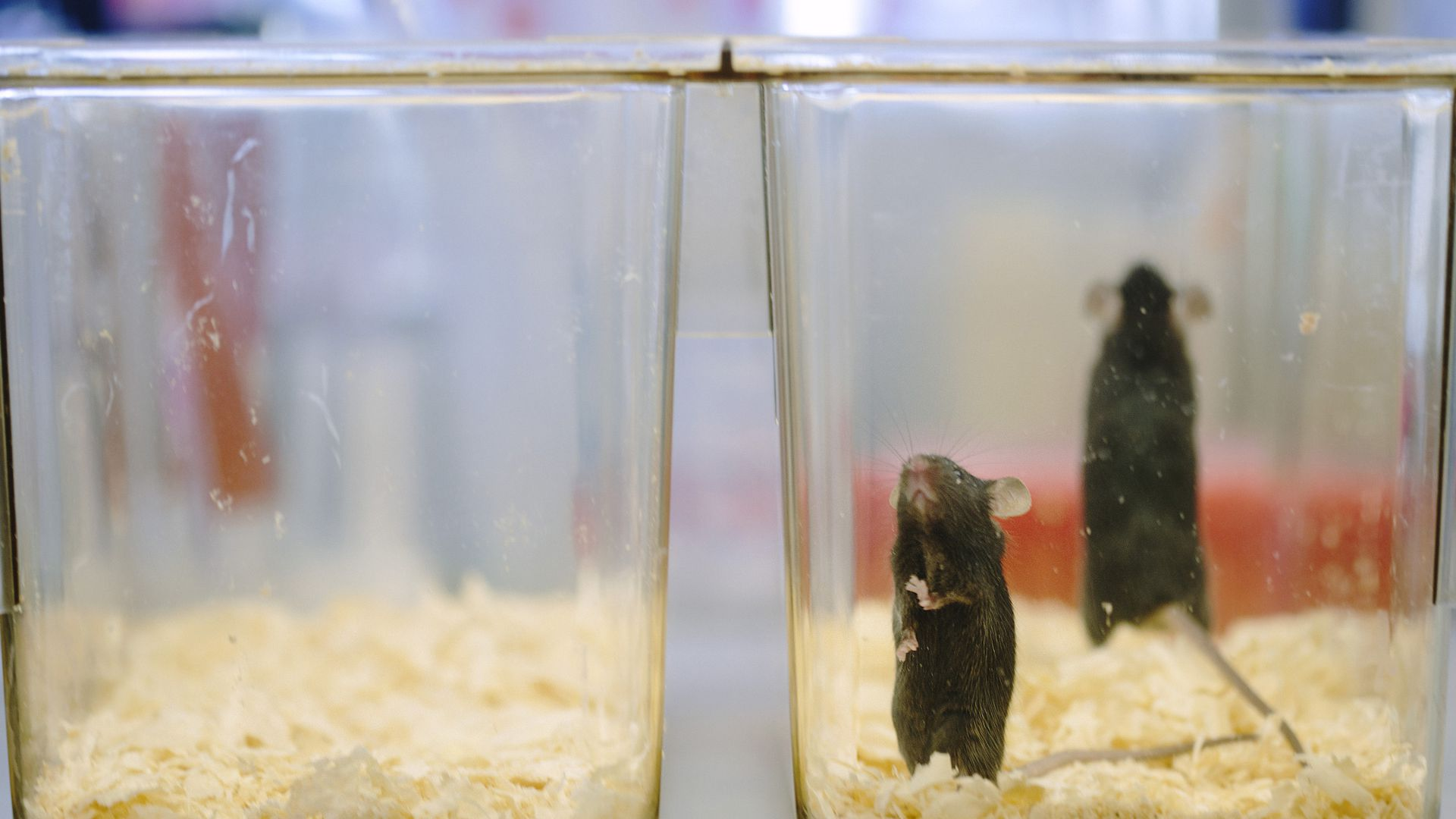 In this image, two mice stand in a clear plastic container with hay on the bottom.
