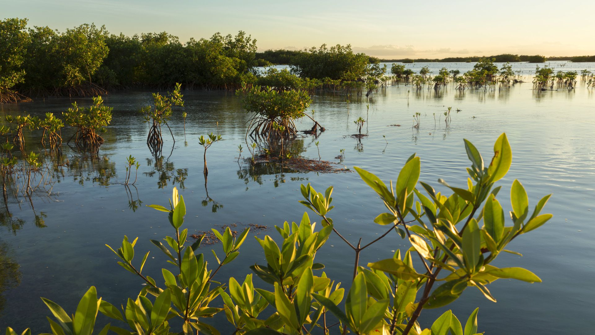 Mangroves on Cayo Coco, province Ciego de Avila, Cuba. Photo by: Prisma by Dukas/UIG via Getty Images