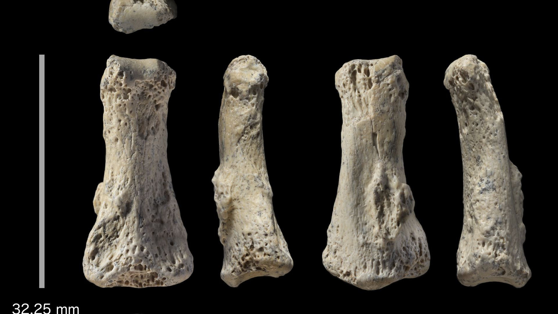 Fossil finger bone of what scientists believe is a Homo sapiens from the Al Wusta site in Saudi Arabia.