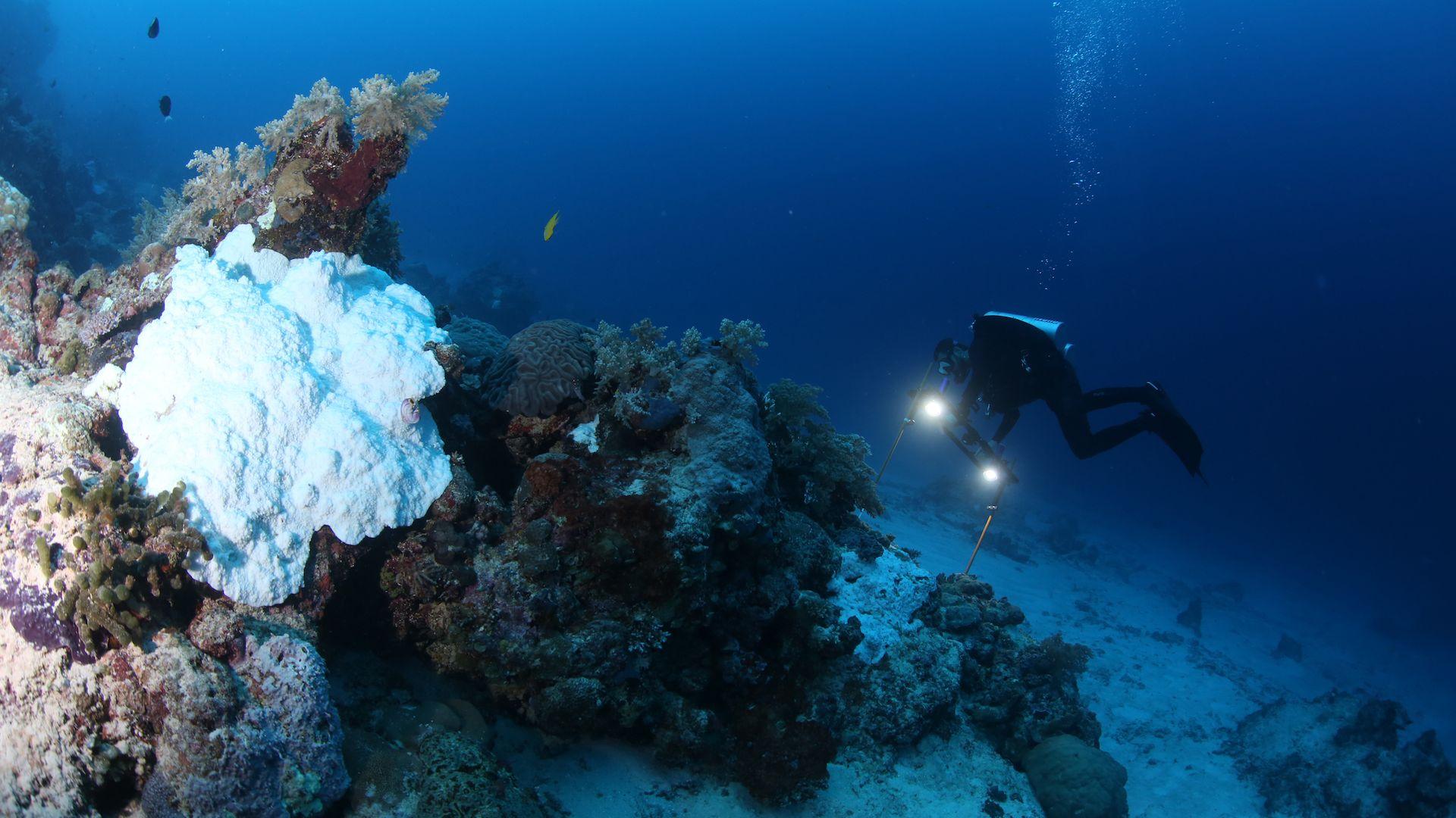 Researcher Norbert Englebert surveys a coral reef.