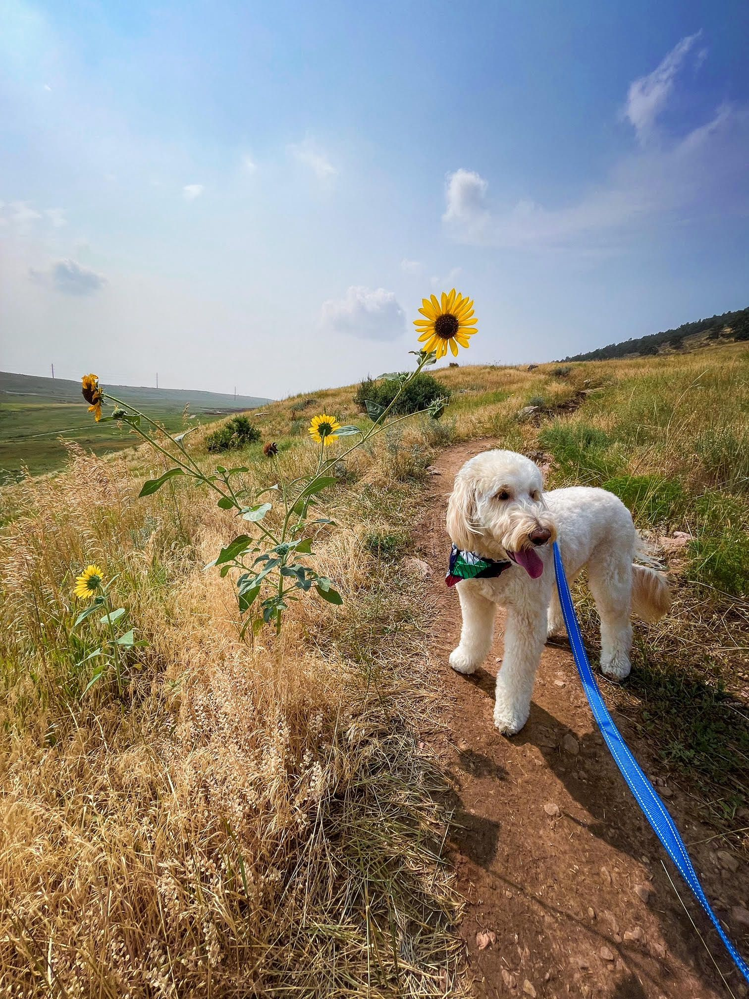 A photo of a golden doodle on a trail next to sunflowers