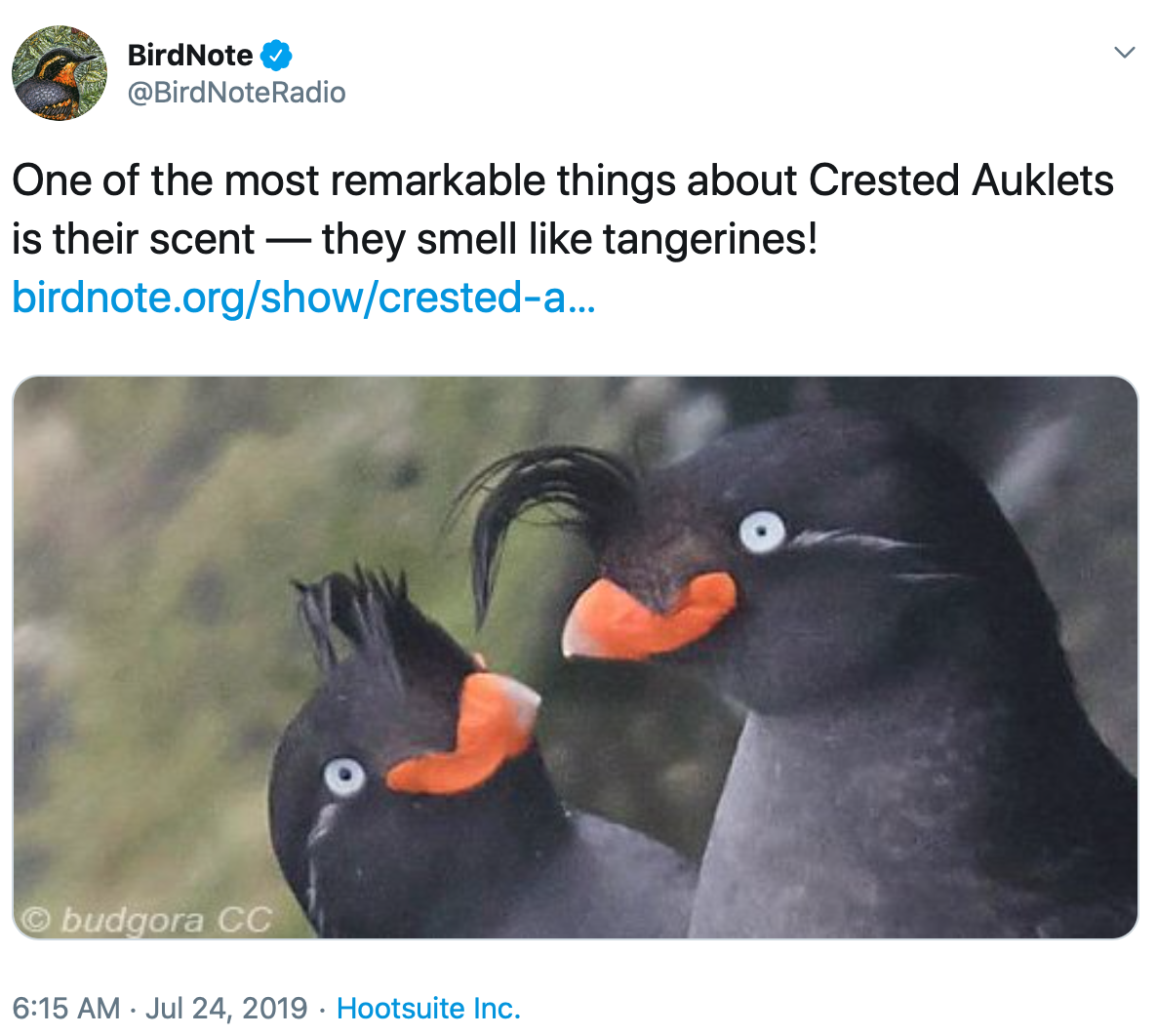 A pair of crested auklets