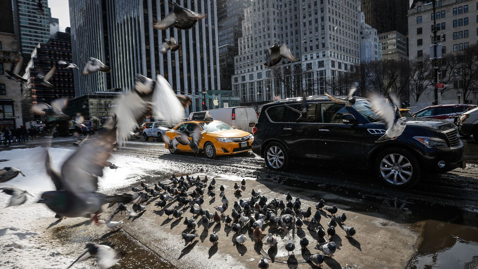 Pigeons, surrounded by snow, cluster on dry ground around a New York City storm drain to stay warm