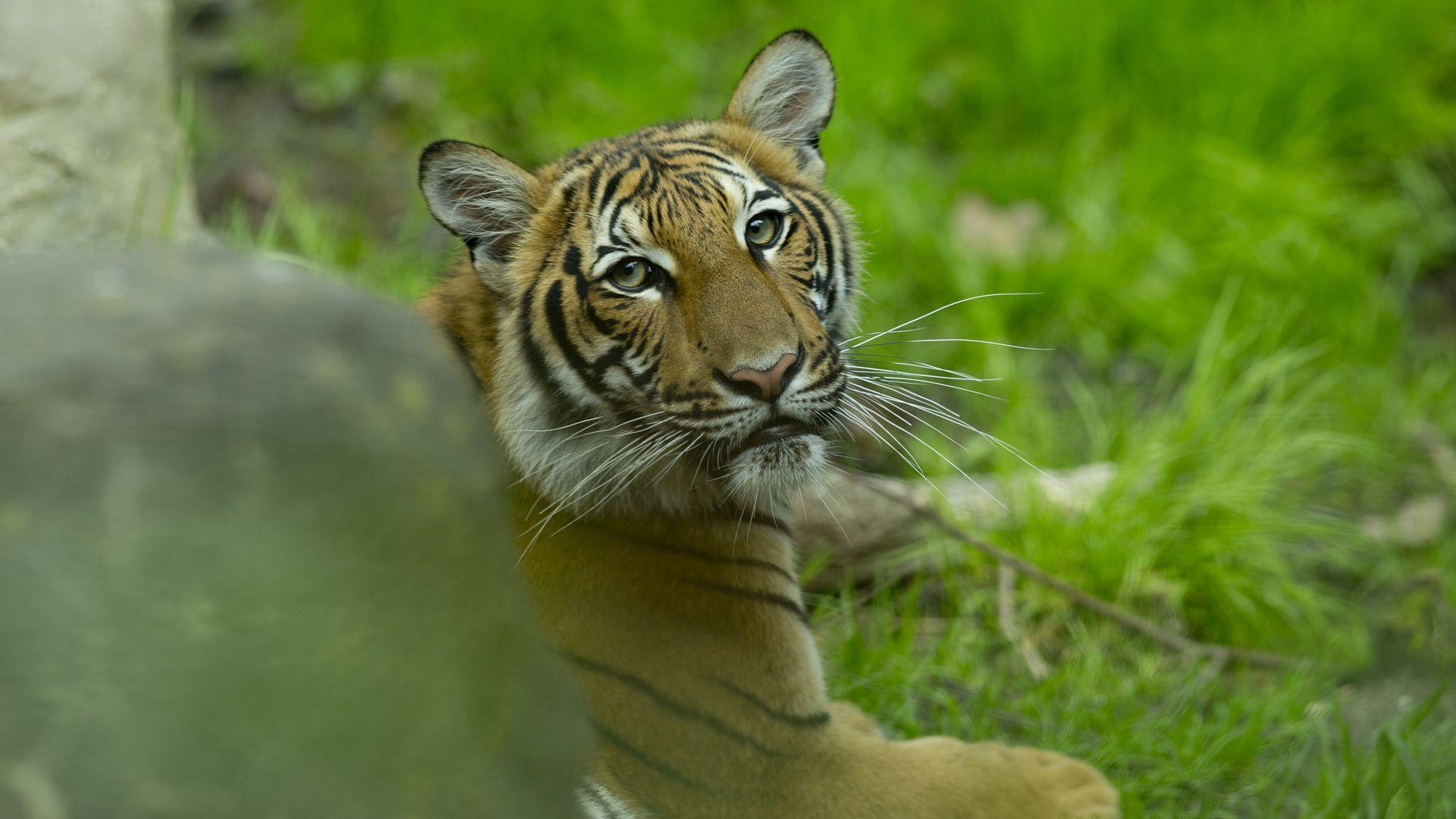 Tiger at Bronx Zoo tests positive for coronavirus - Axios