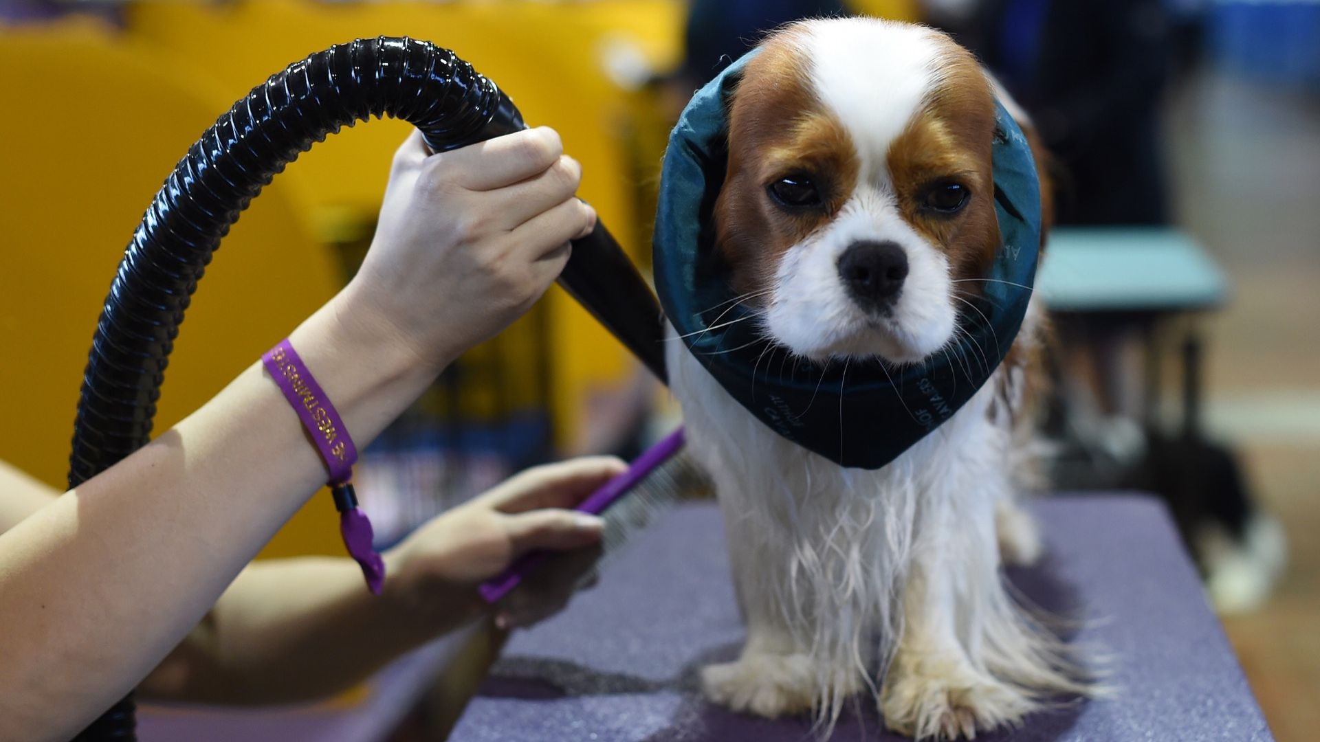 A Cavalier King Charles Spaniel getting groomed
