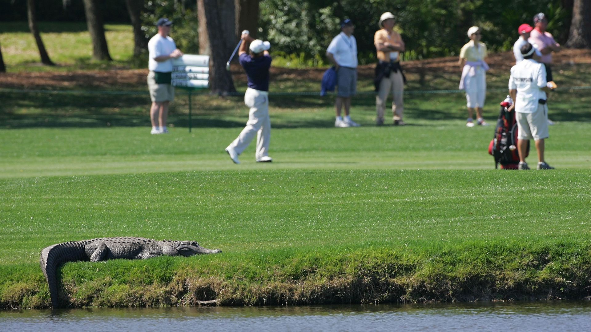 An alligator suns itself on a golf course