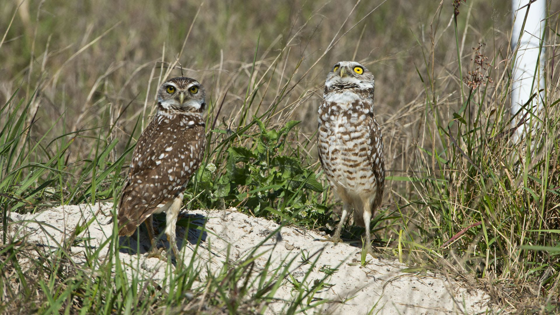 A pair of burrowing owls sit together near Cape Coral.