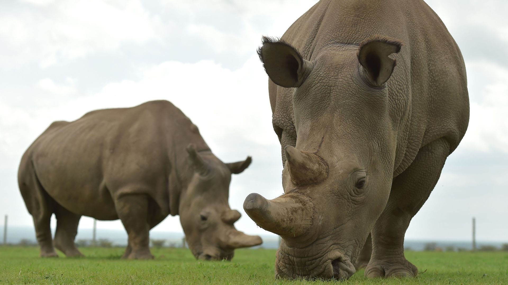 High-tech reproduction methods could save endangered rhino