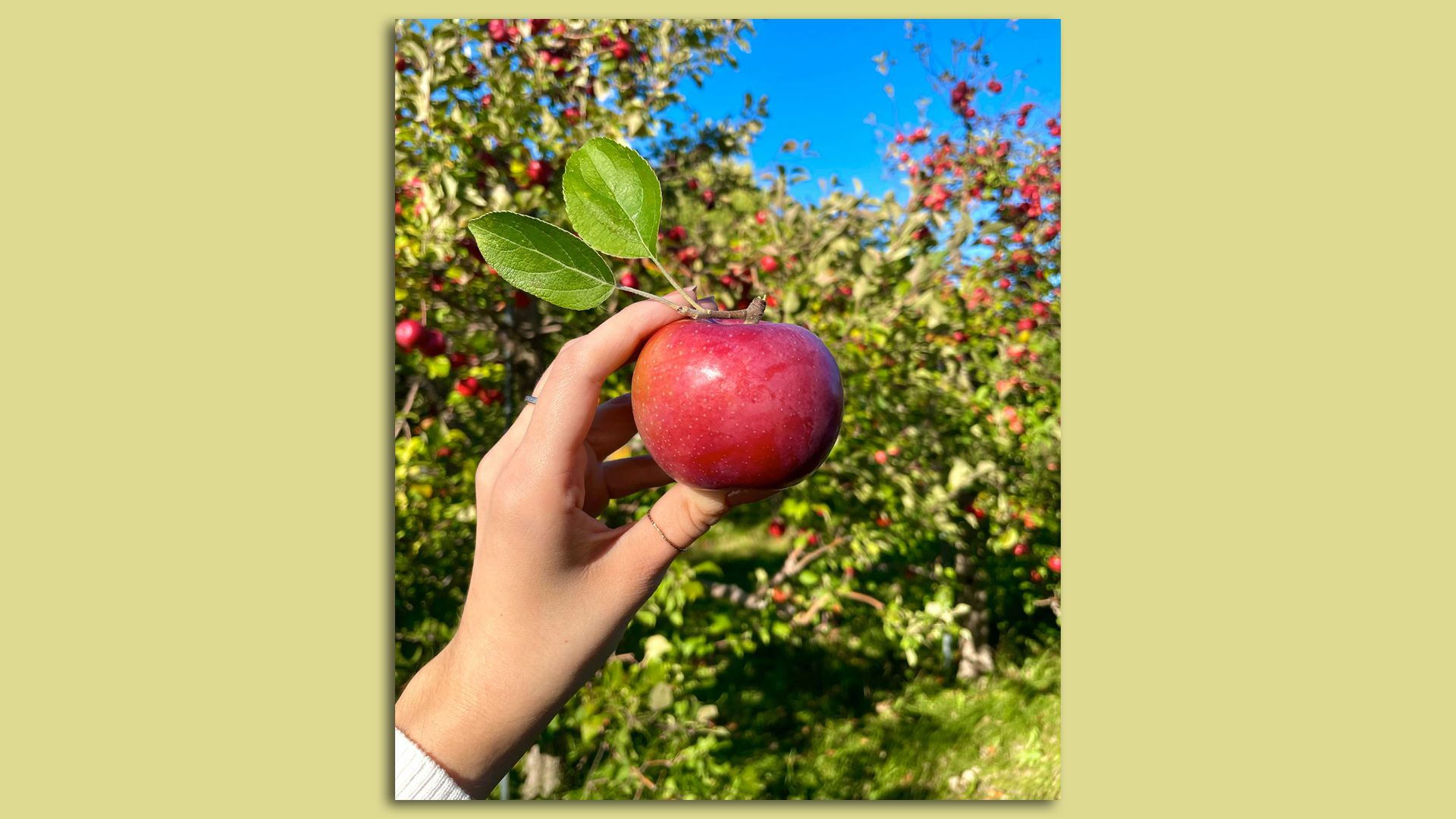 hand holding a red apple in front of a group of apple trees on sunny day