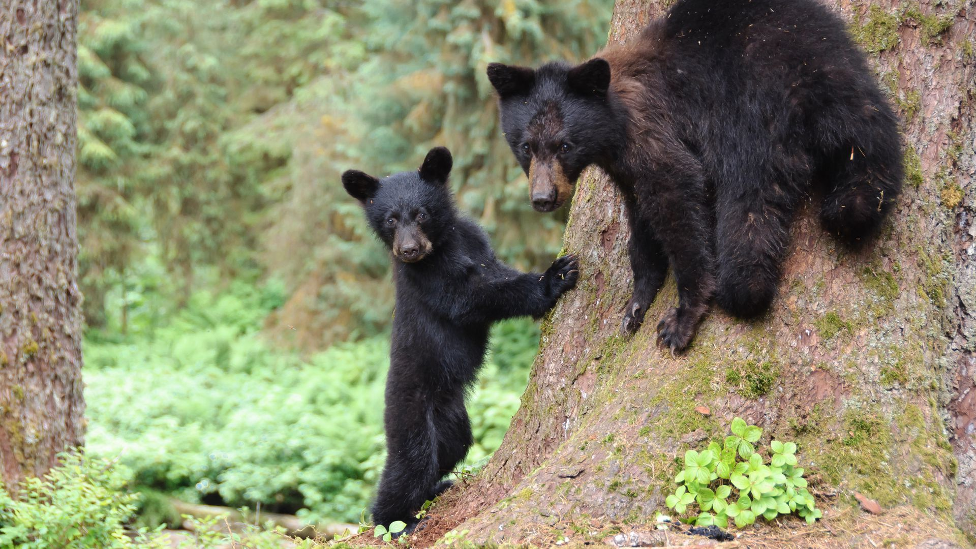 Two black bears in Alaska