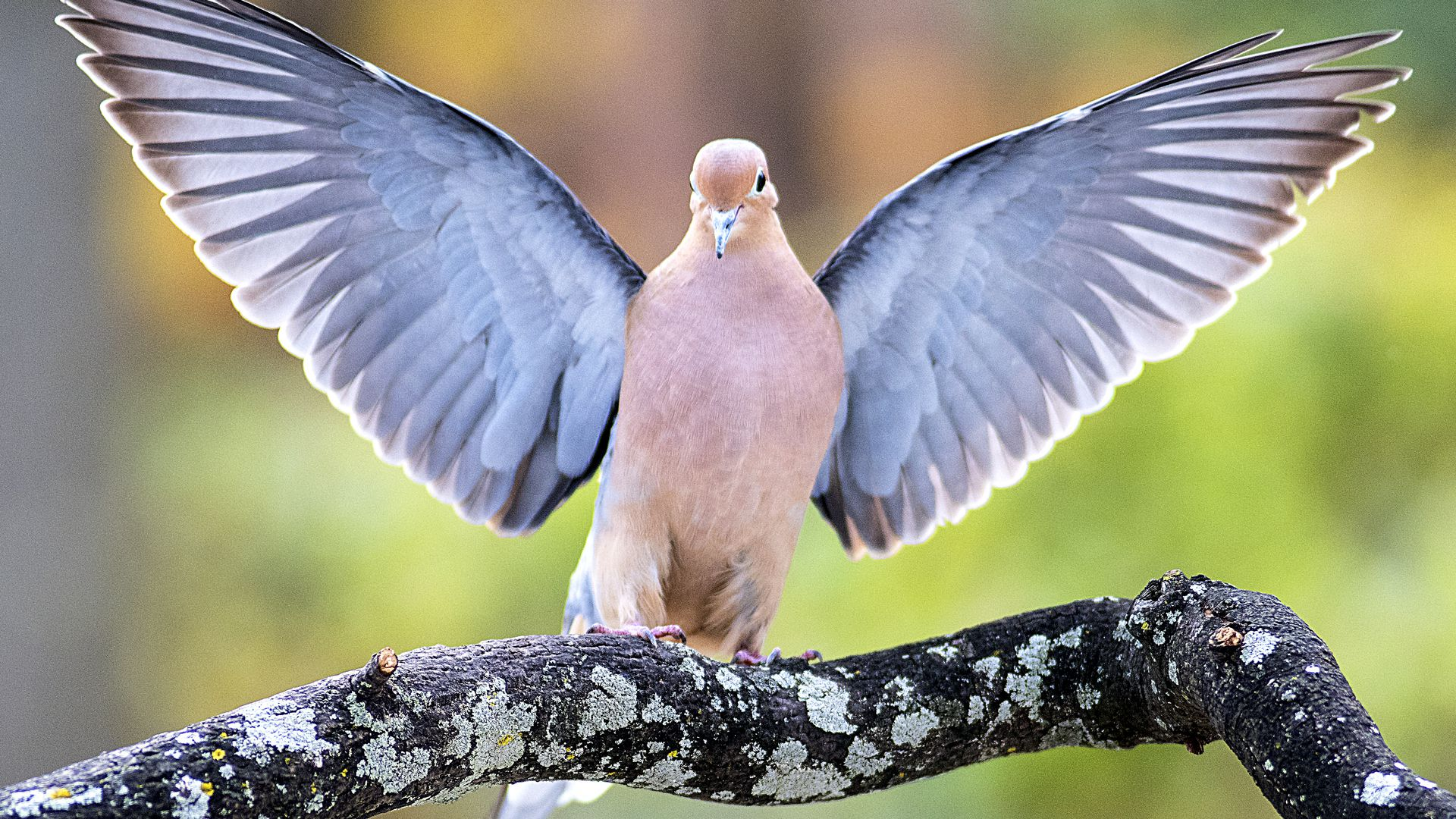 Mourning Dove Lands on Tree Branch, Wings Spread.