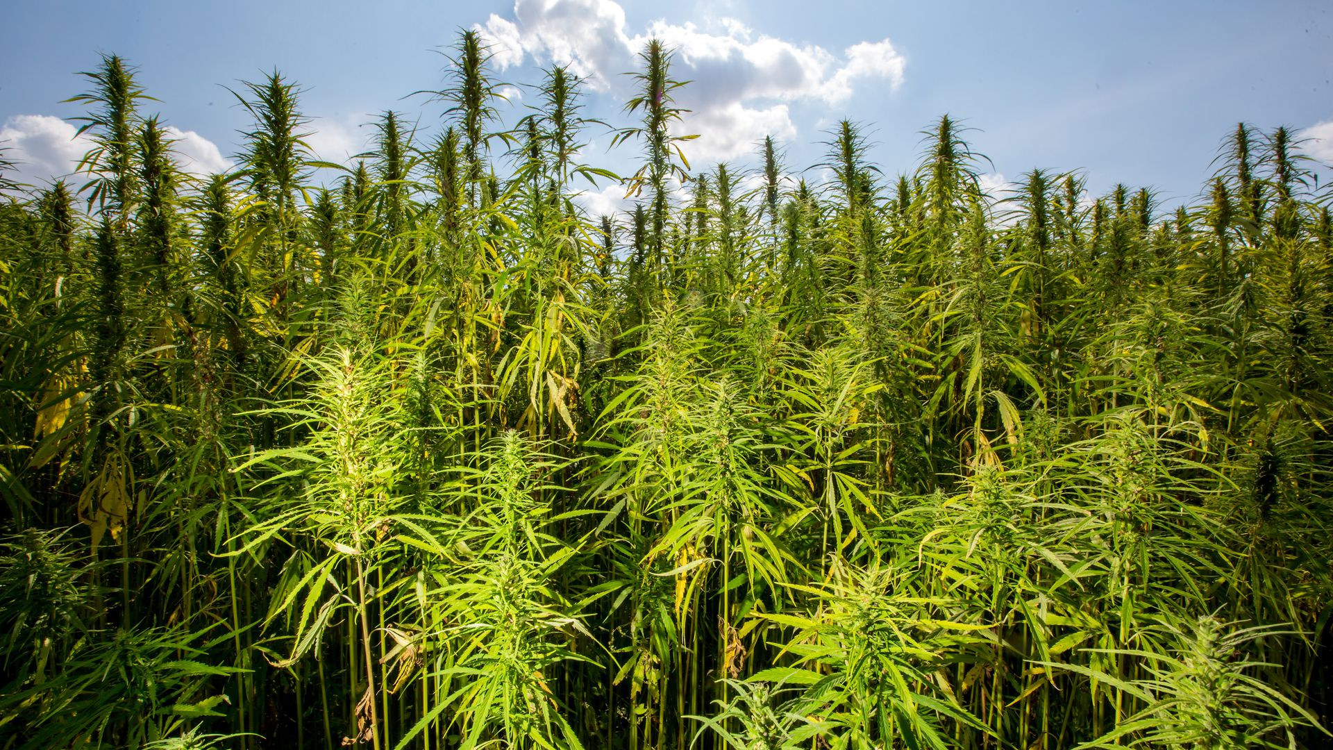 Hemp is almost legal, thanks to the farm bill - Axios