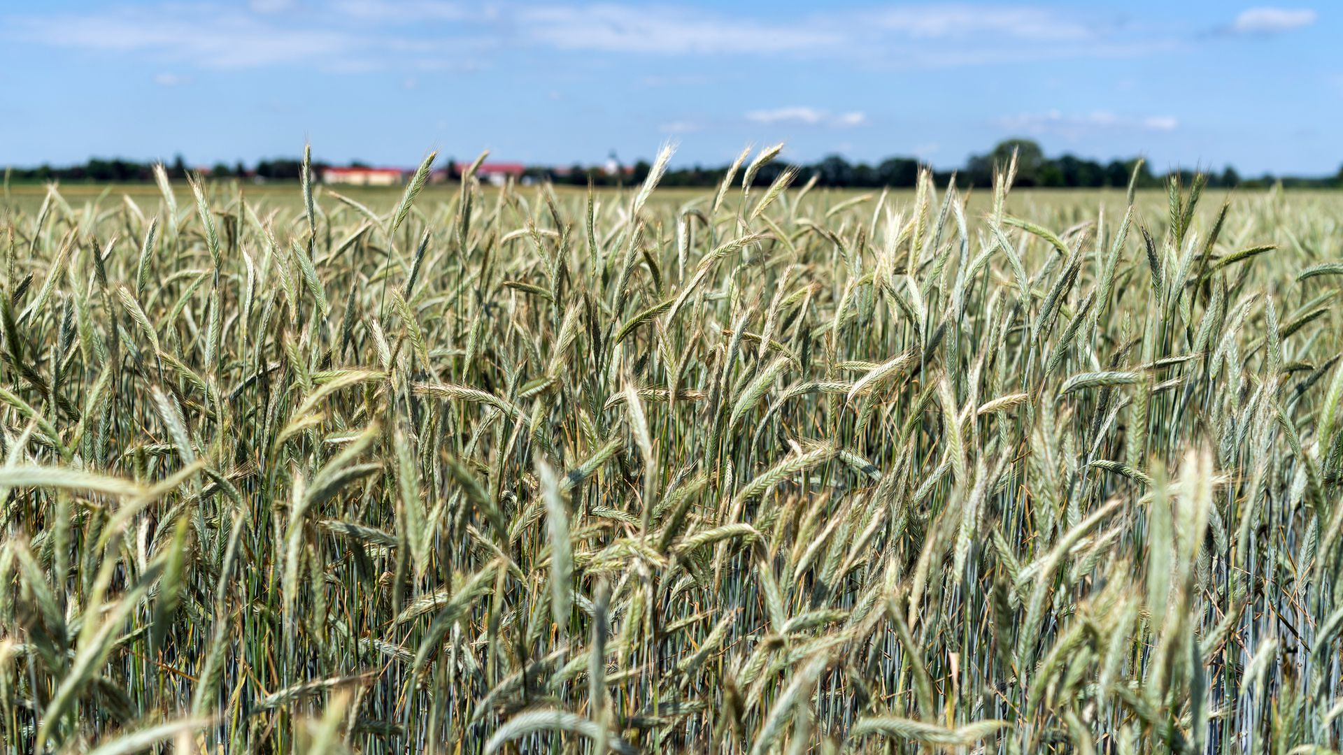 A cornfield.