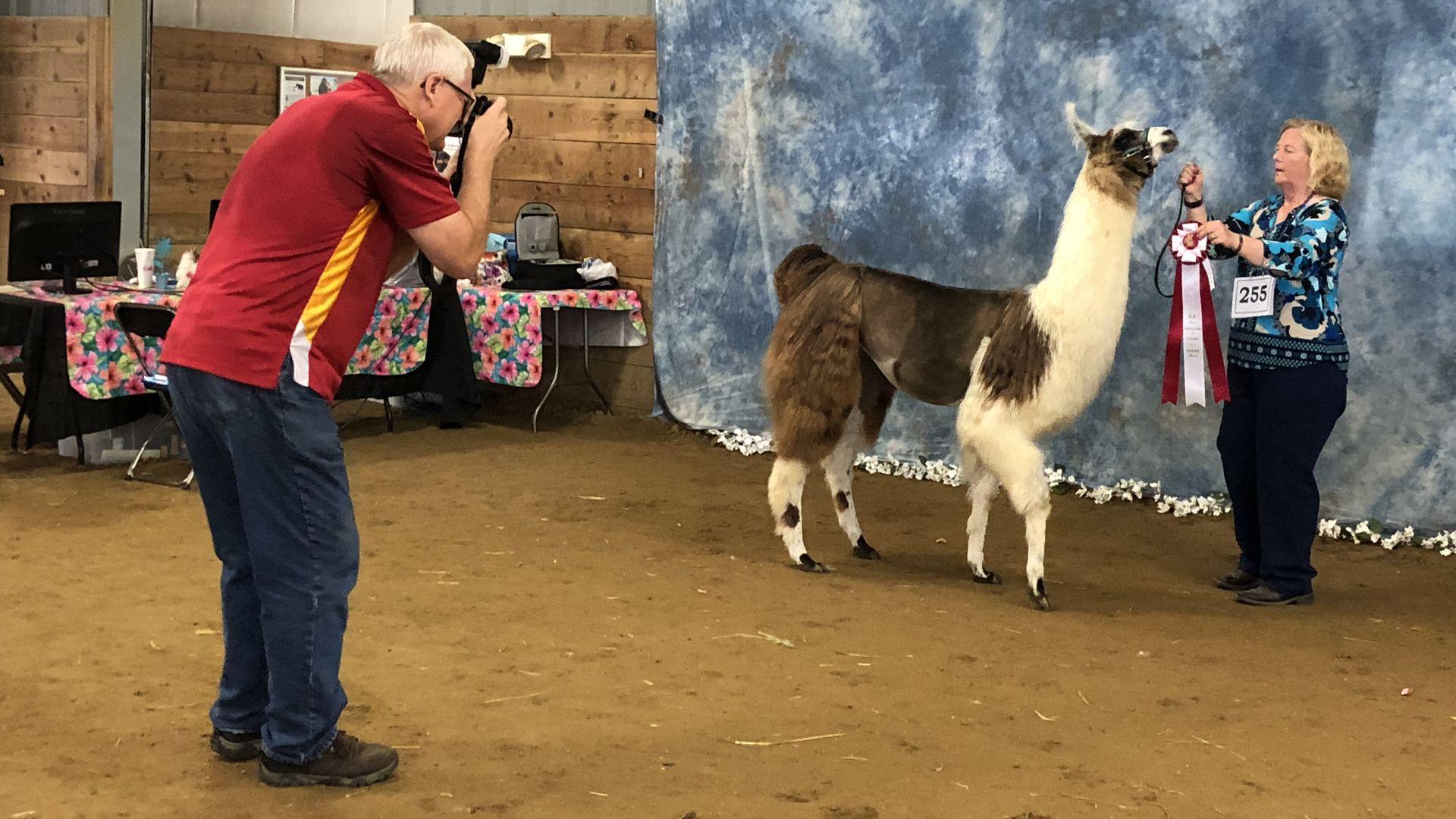 0e5dcb54f79bd5 Llama nation still thriving despite burst market bubble