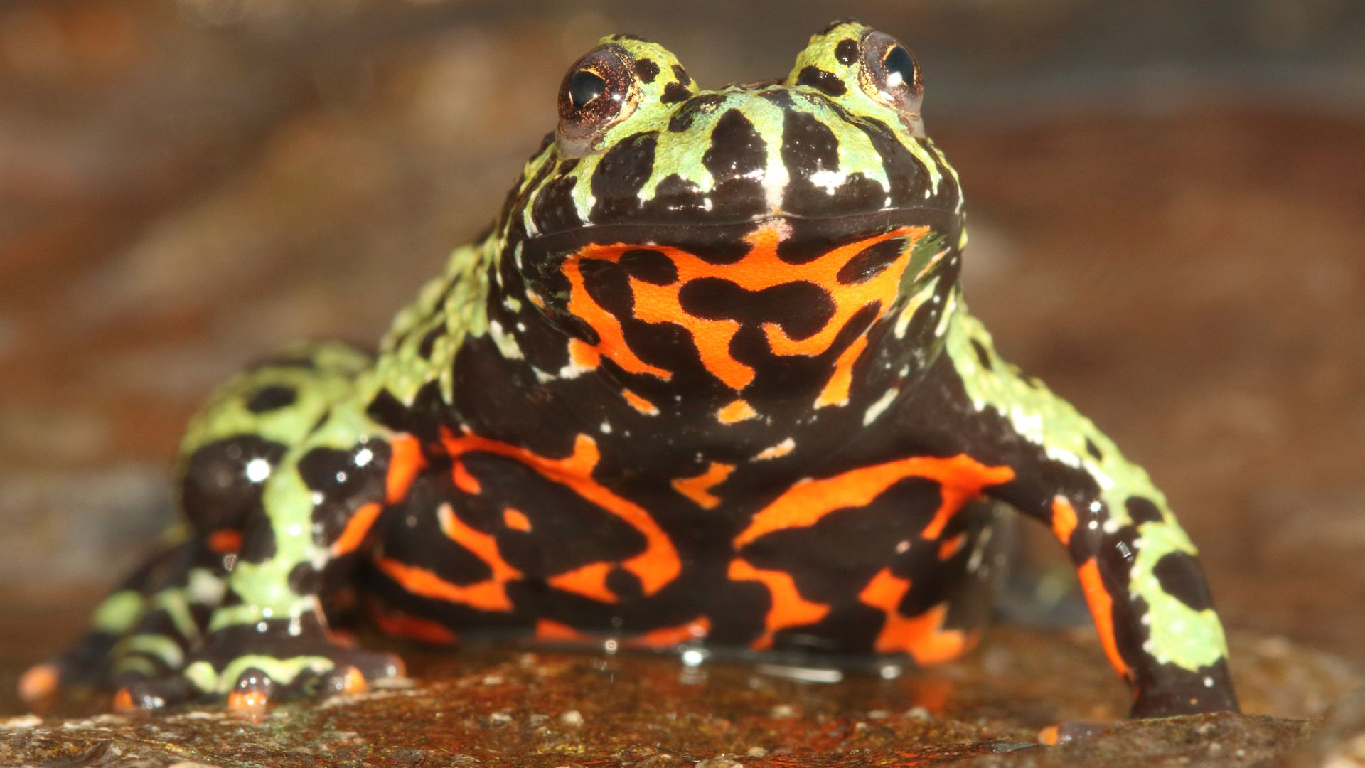 A captive Oriental fire-bellied toad (or Bombina orientalis) imported into Europe from South Korea