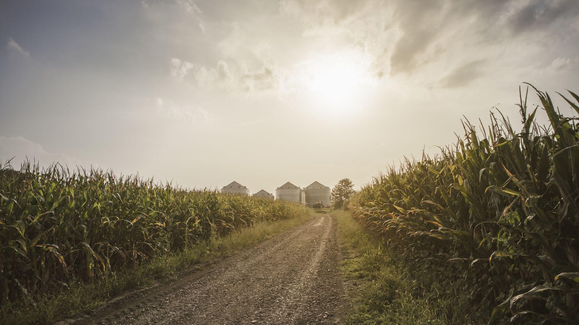 A corn farm