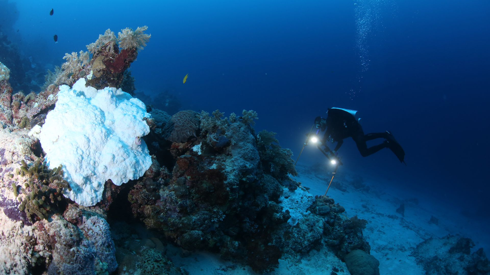 Scientist studying coral bleaching.
