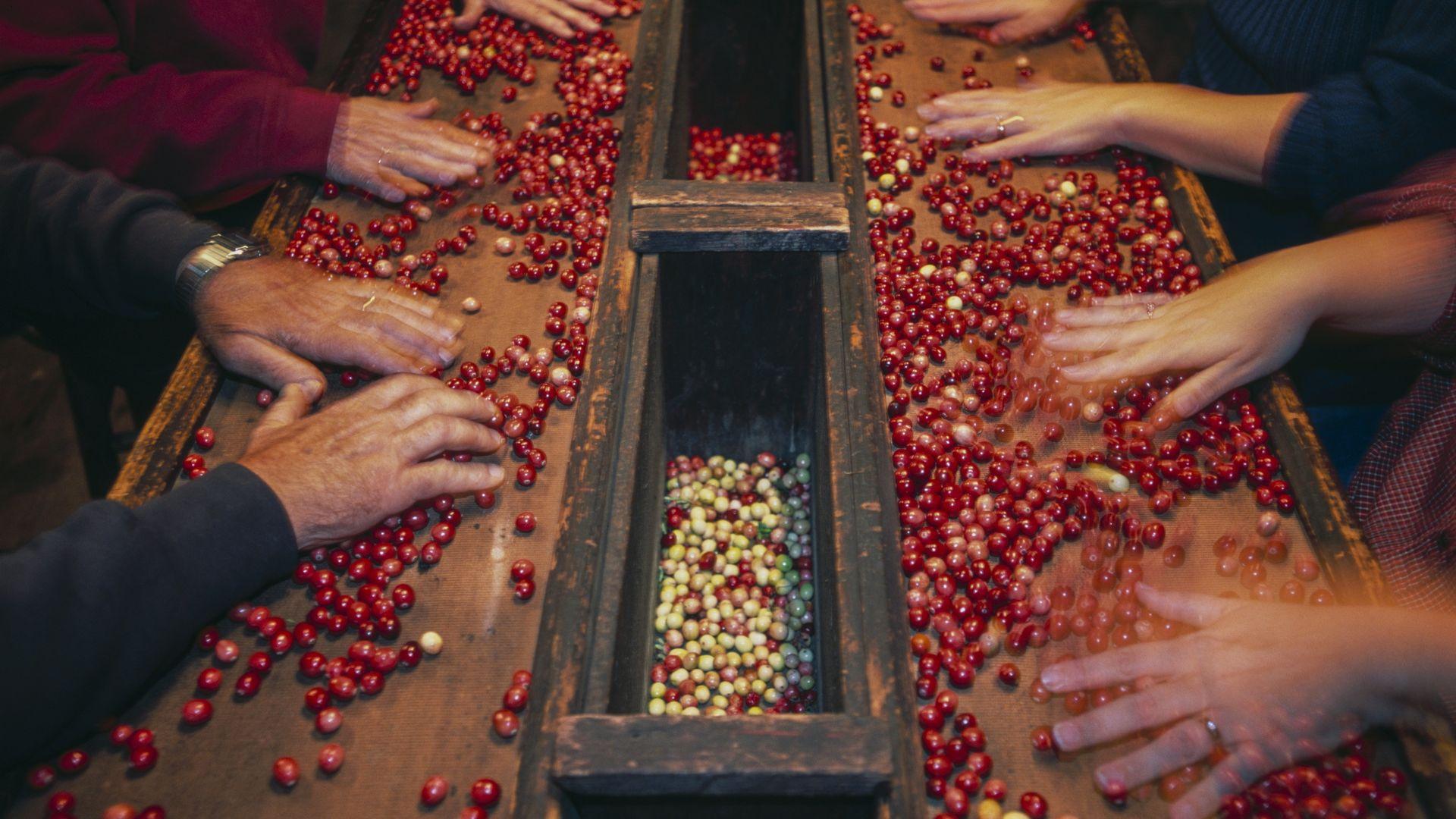 People sorting cranberries