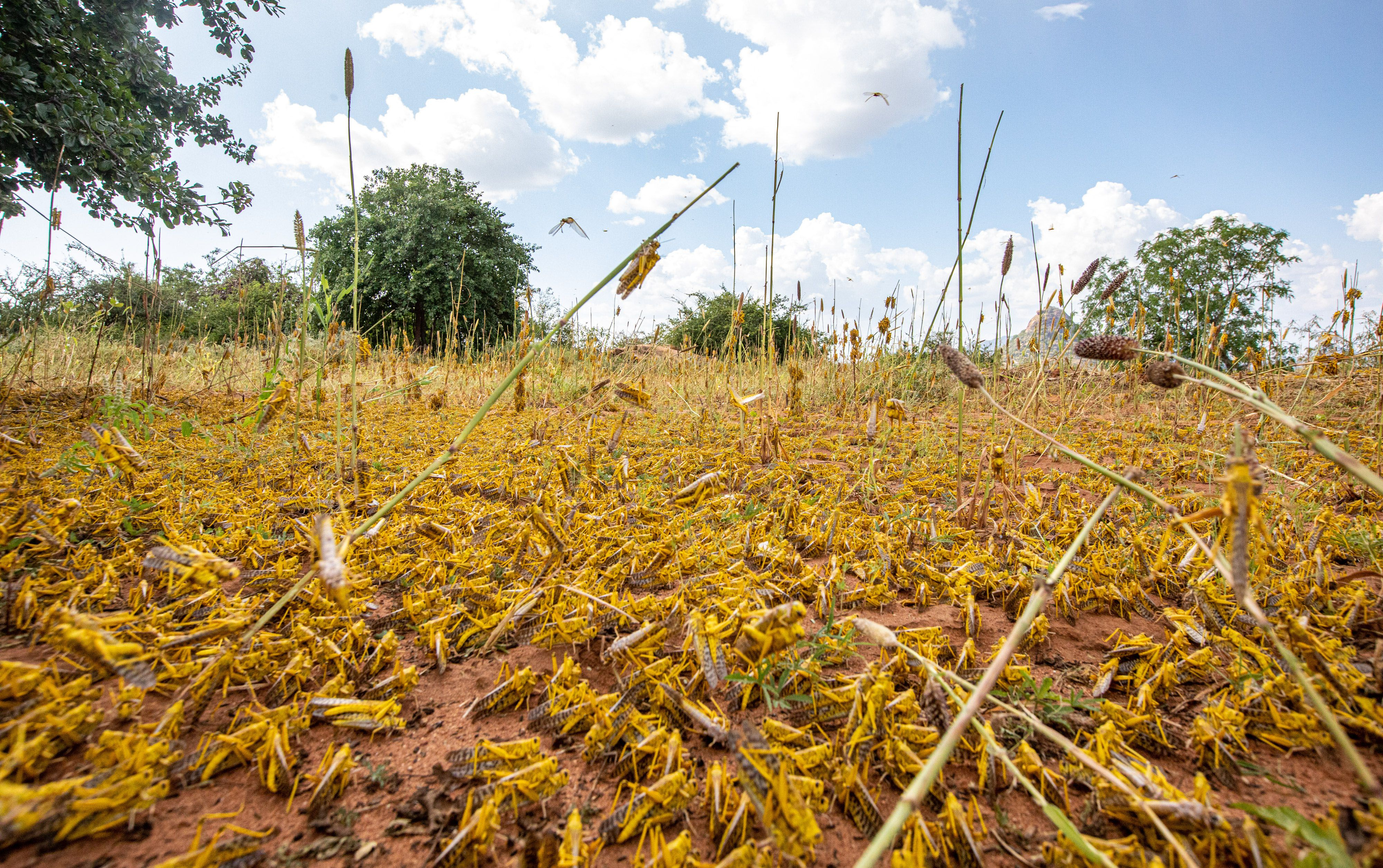 Swarms of locusts in East Africa put millions at risk of starvation